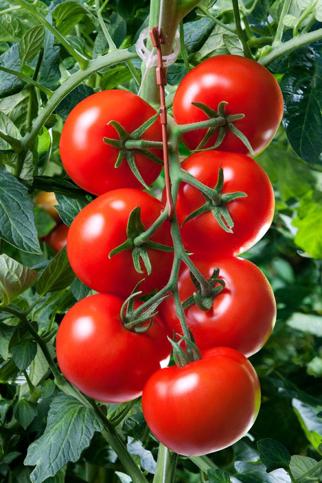 tomaat-5.jpg