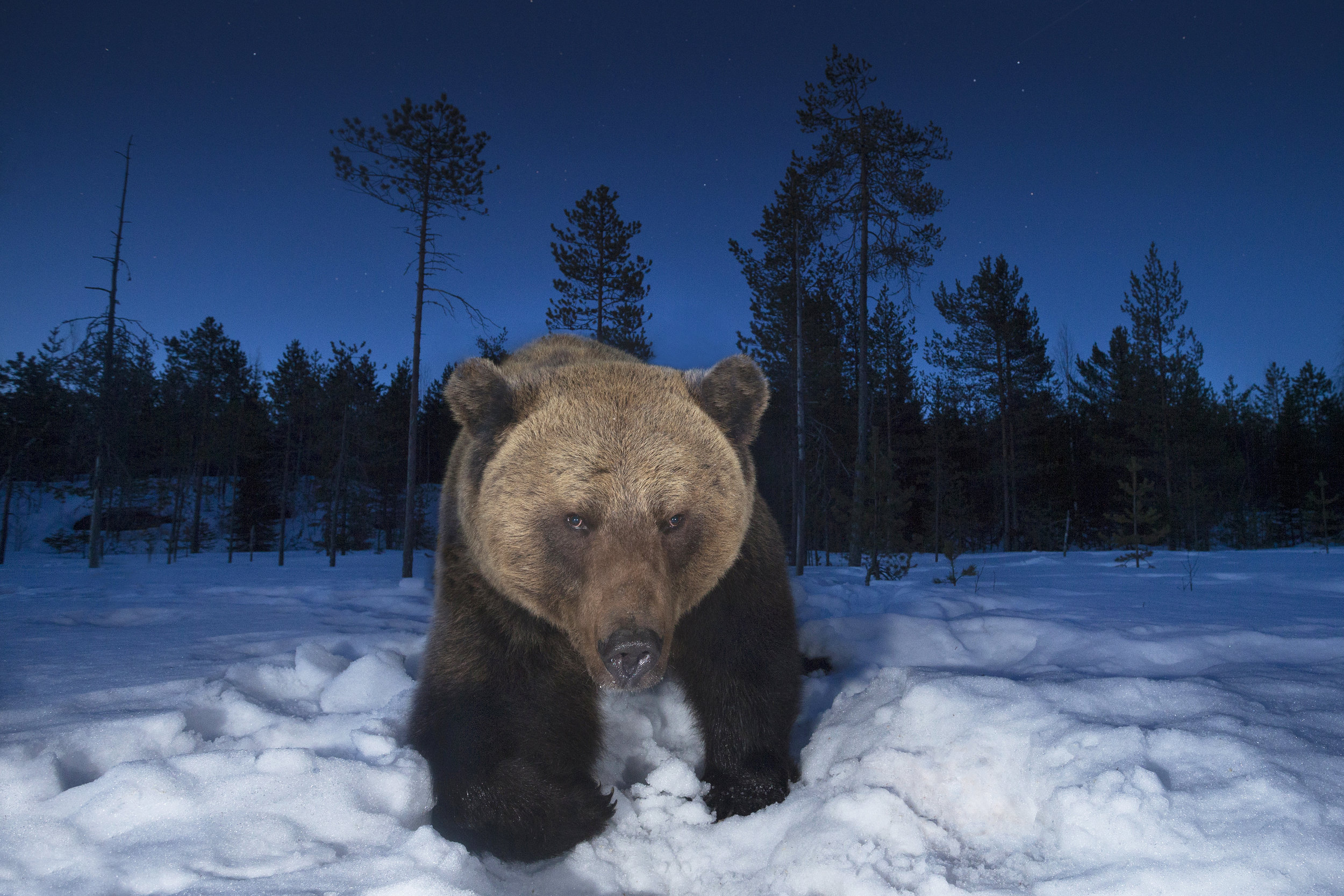 Brown_Bear_Wide_Angle.jpg