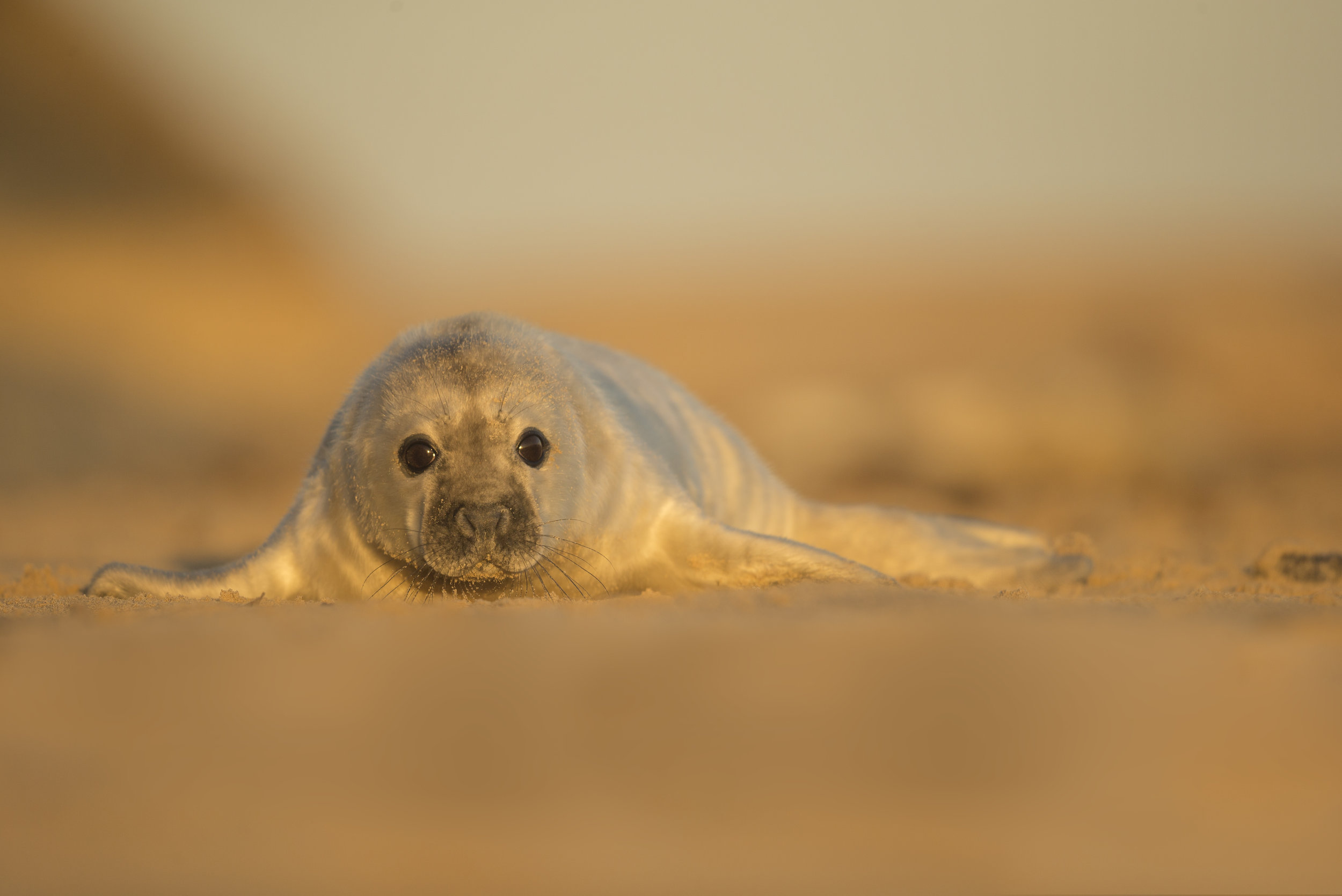 Grey_Seal_Pup_MG_0049.jpg