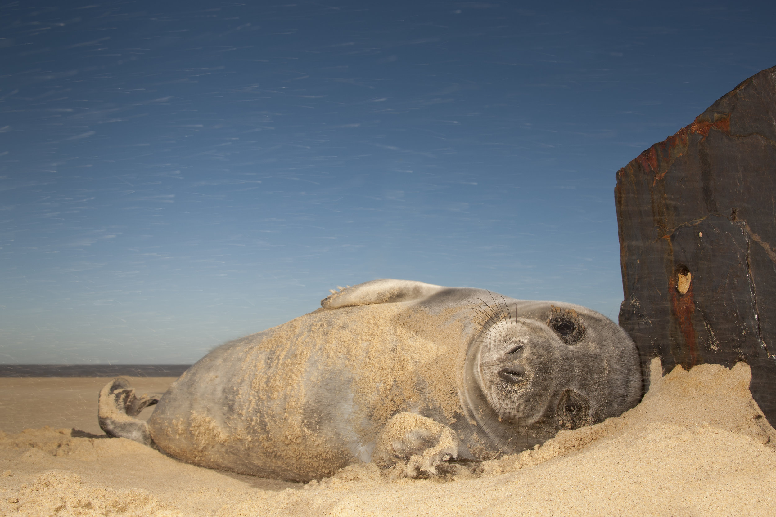 Grey_Seal_Pup_Sandstorm2.jpg