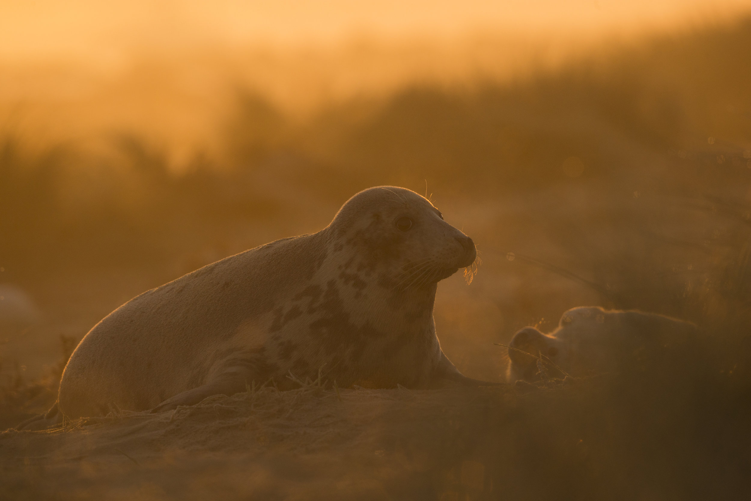 Grey_Seal_Mother_And_Pup_MG_0059.jpg