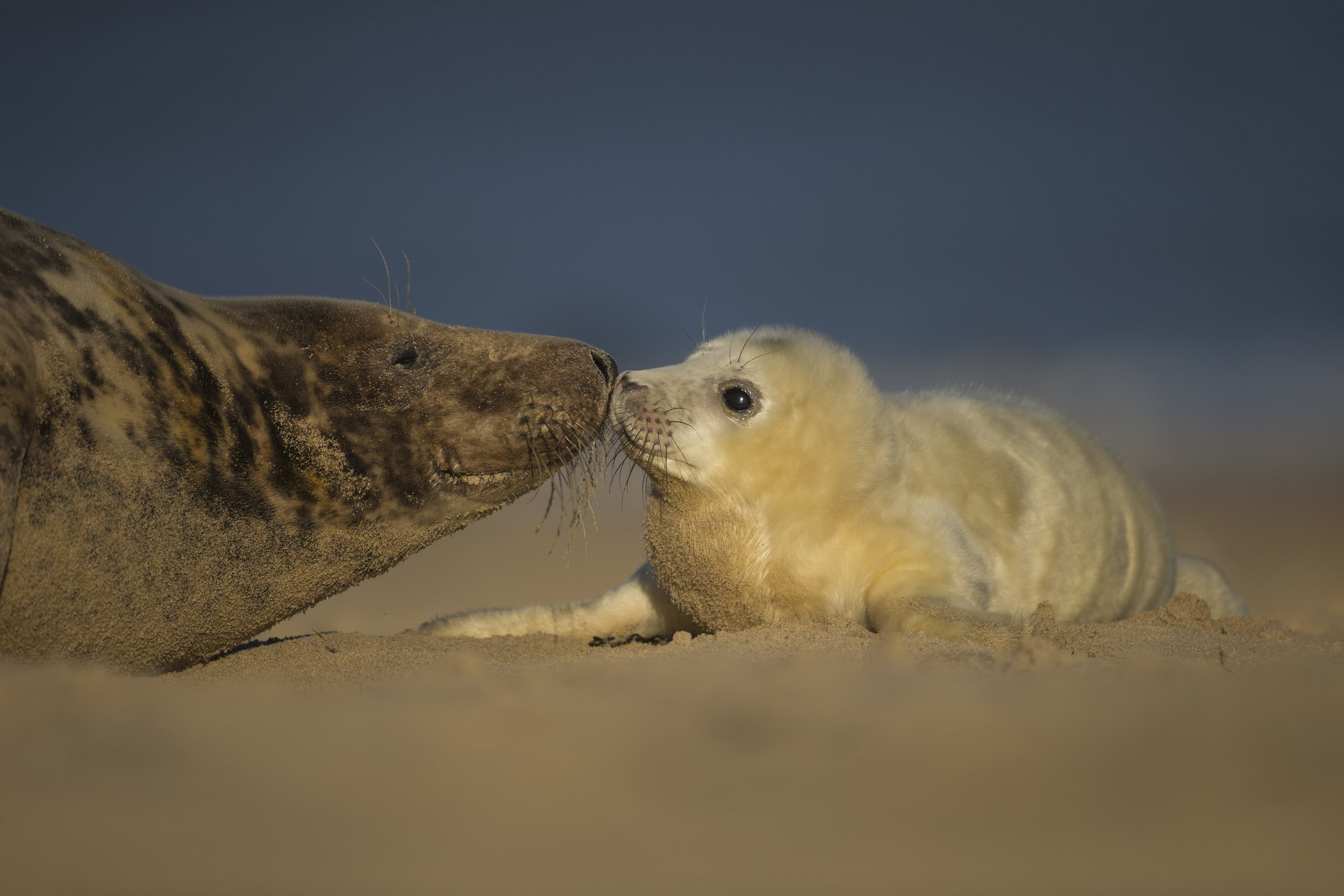 Grey_Seal_Mother&Pup_MG_0191.jpg