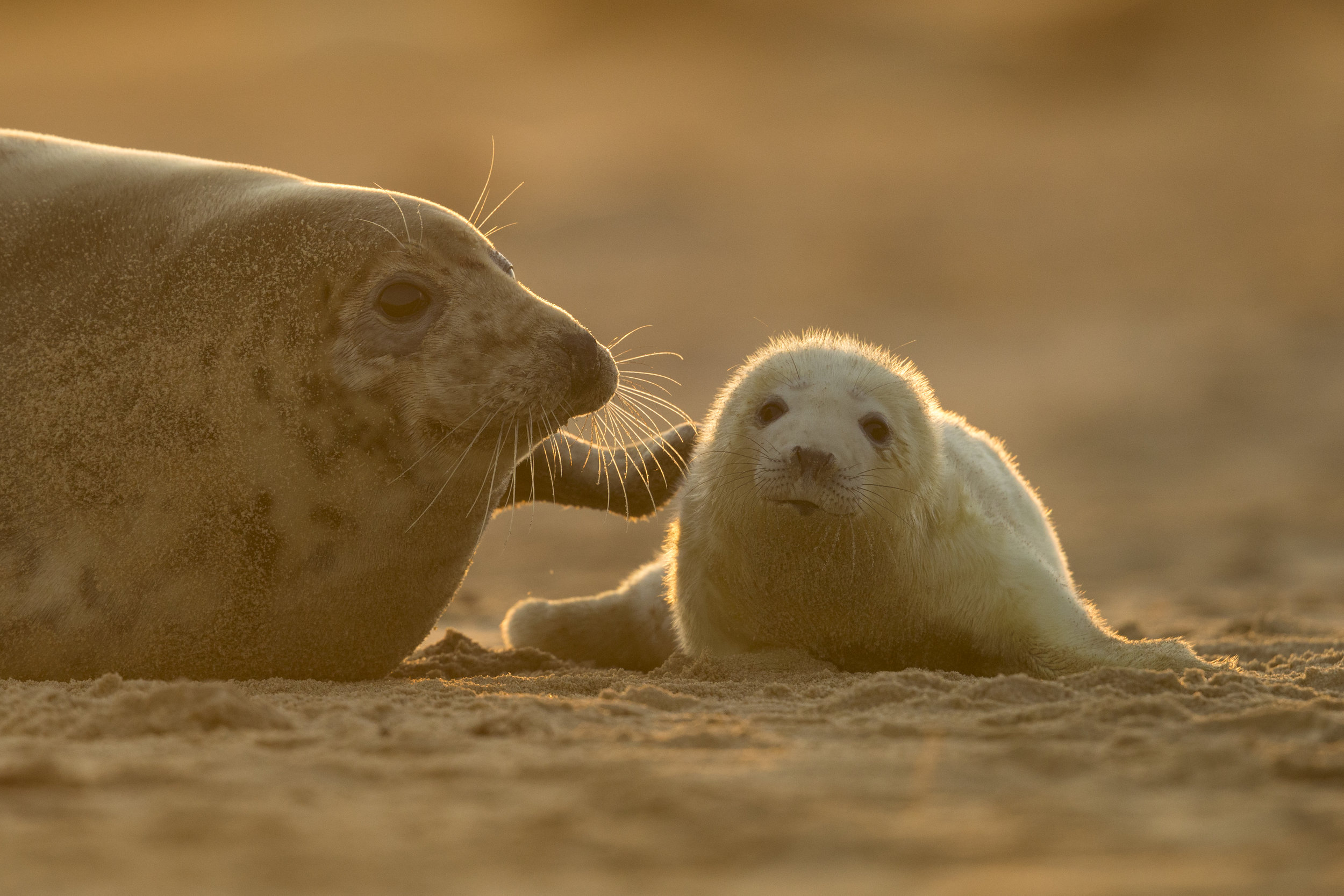 Grey_Seal_Mother&Pup_MG_0195.jpg
