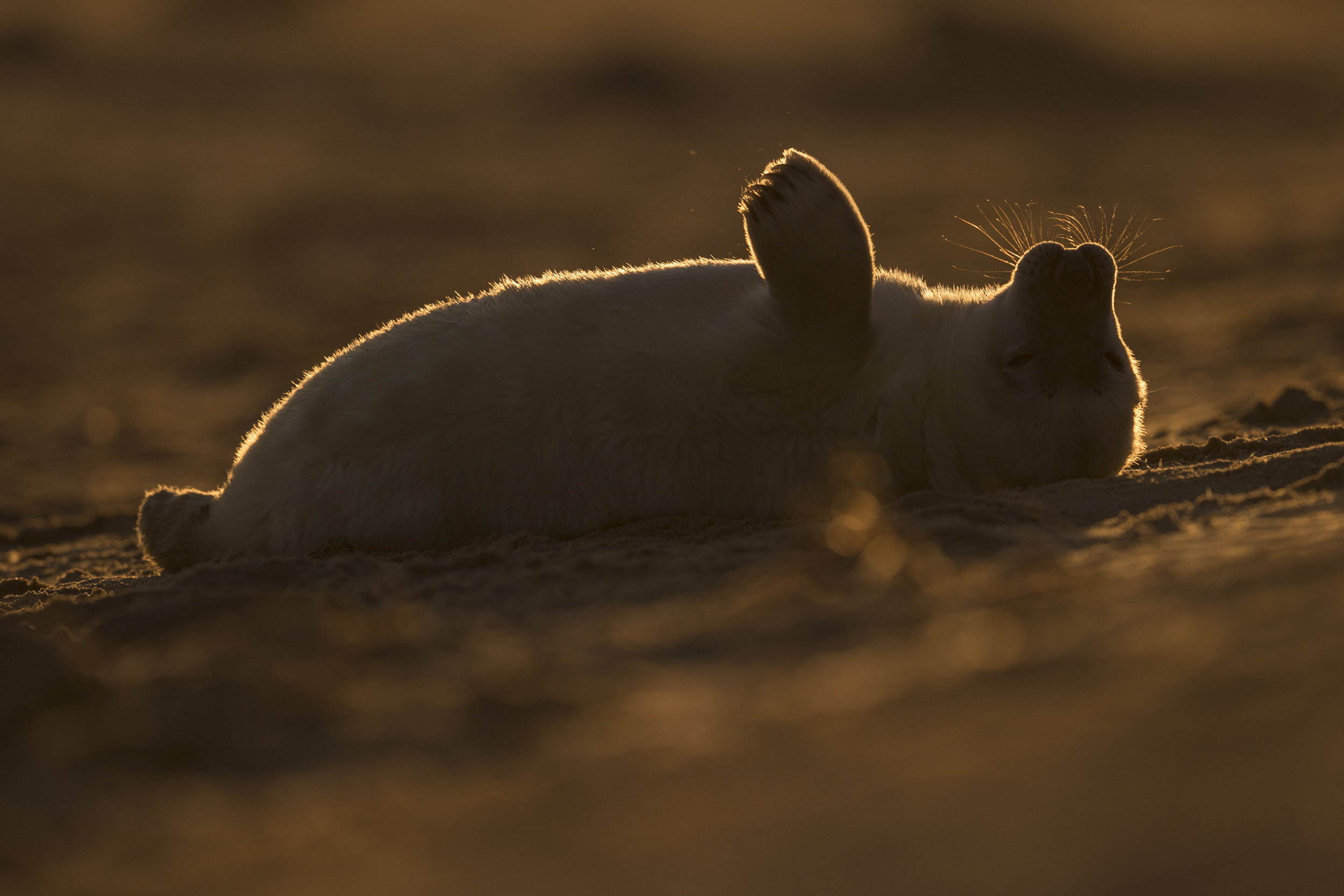 Grey_Seal_Pup_MG_0130.jpg