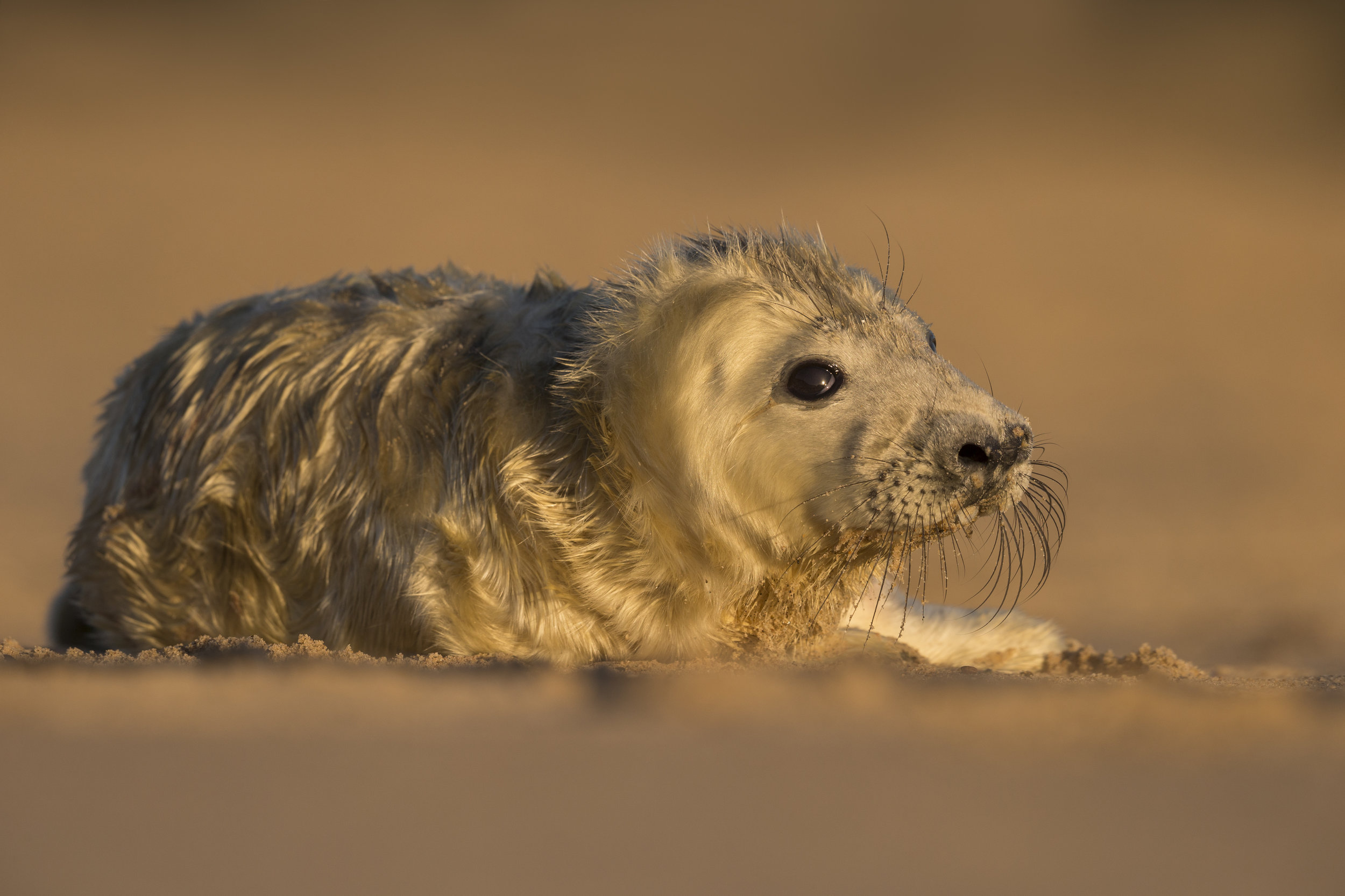 Grey_Seal_Pup_MG_0142.jpg