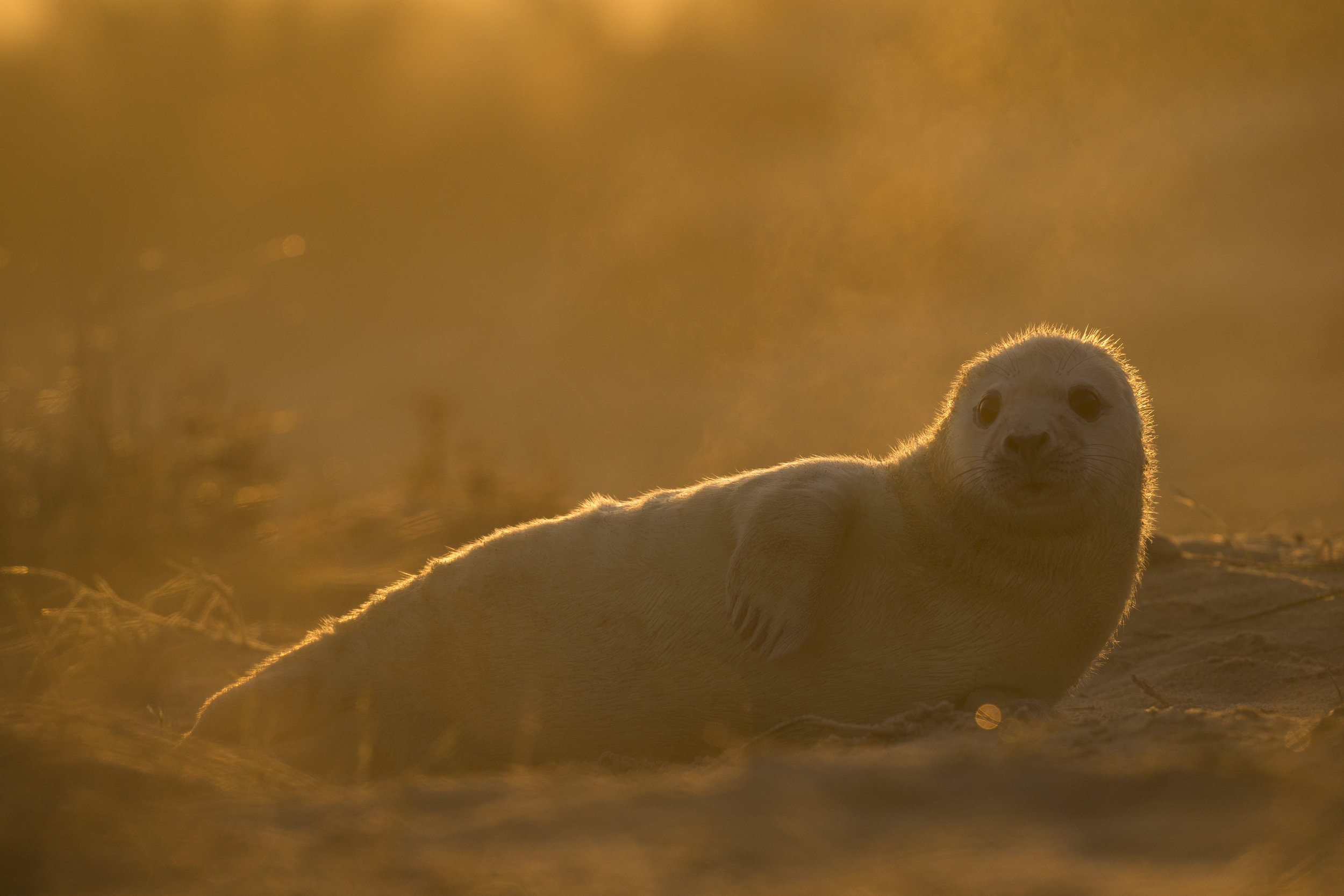 Grey_Seal_Pup_MG_0196.jpg