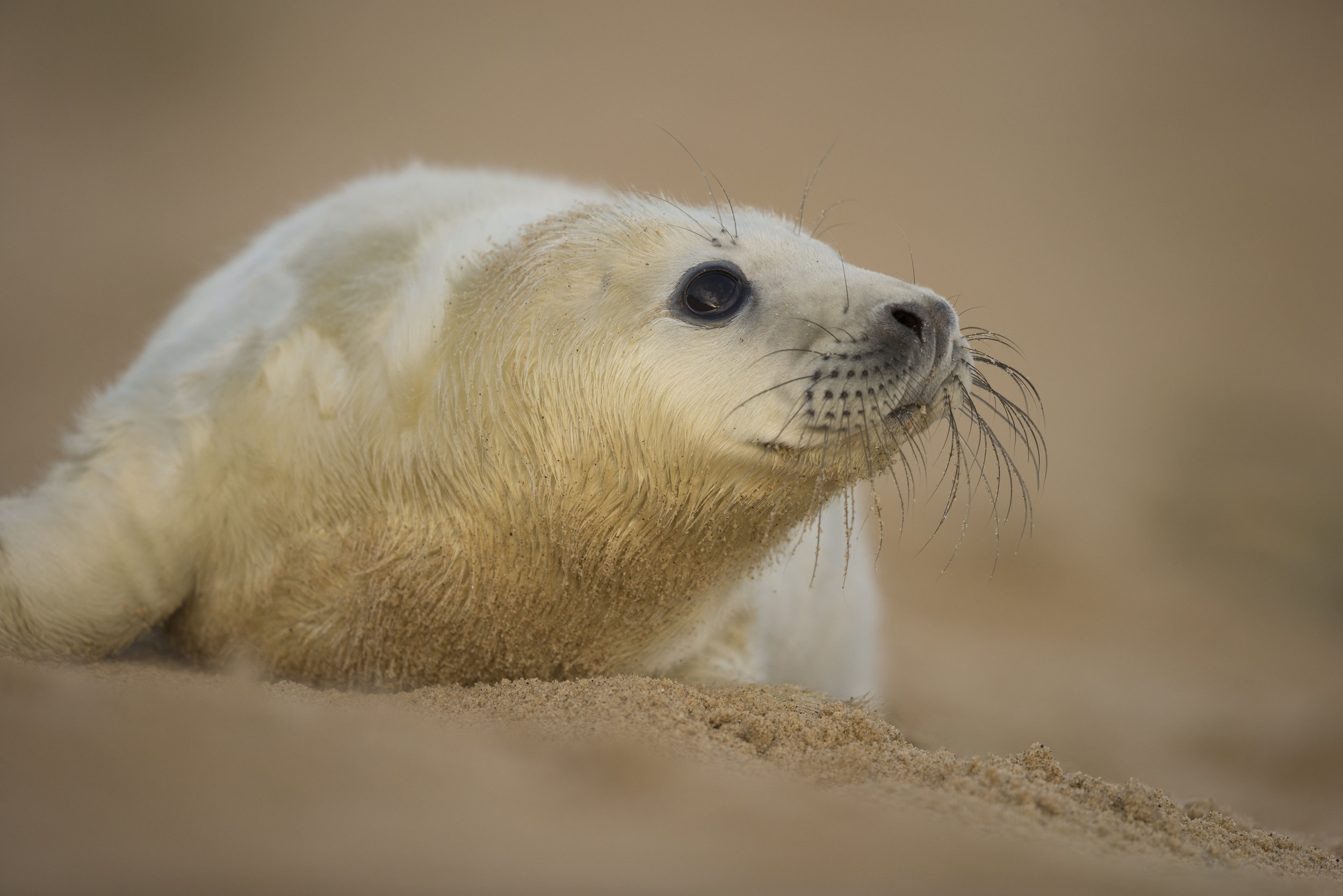 Grey_Seal_Pup_MG_0324.jpg
