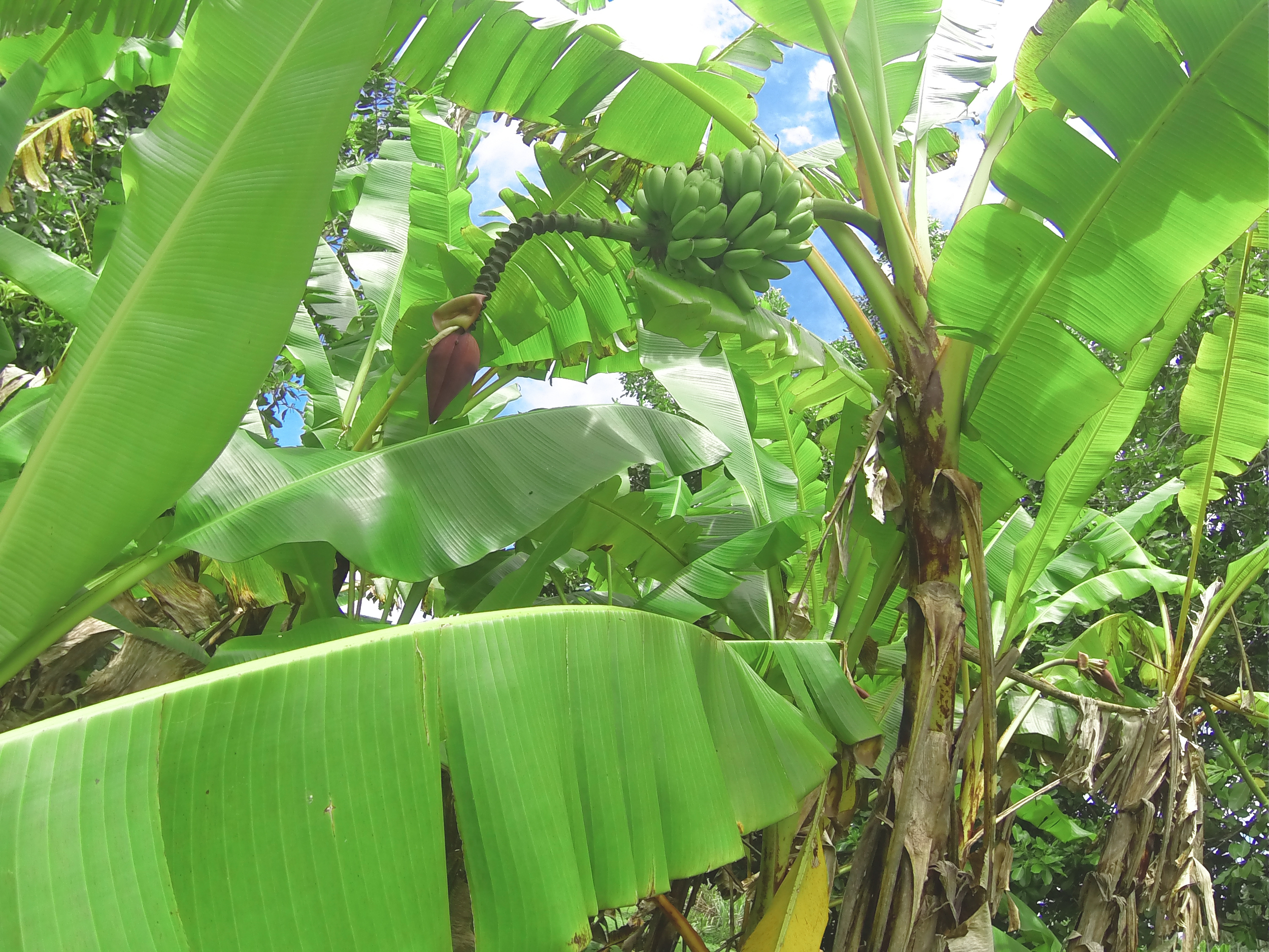 banana tree! i had only ever seen this in the form of a sculpture my filipina grandmother keeps on the kitchen table.