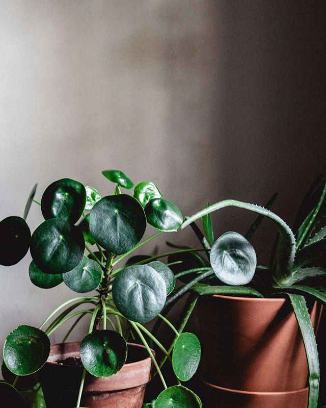 Let's talk #houseplant care for a minute. I, like every millennial who follows @thesill, have spent a good chunk of my disposable income on houseplants. _ What I failed to do during my first plant buying binge was educate myself on the specific needs of every individual plant I purchased. So, when my first of many ferns died a horrible, crispy brown death, I did my research, adjusted my game, and STILL ended up with some sad green babies. _ Why did this keep happening? Was my green thumb actually black? Was I destined to kill everything I touched? Nope - it was because there are too many houseplant care myths on the web, and I'm working my way through debunking the ones that suck. _ So, you thirsty for more? Click that #linkinbio to find the houseplants myths I debunked, plus what to do instead. _ #MakeandWander #TheSill #PlantsMakePeopleHappy #UrbanJungleBloggers #HouseplantClub #Pilea #ShowMeYourPlants