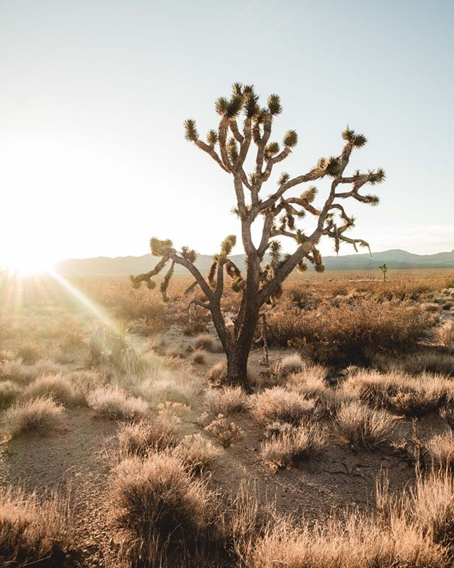 When I fall asleep for the very last time, I hope I wake up in Joshua Tree. @joshuatreenps _ #findyourpark #joshuatreenps #southern_ca #visitcalifornia