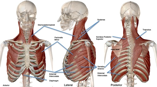 Primäre und assistierende Muskeln, die am Einatmen beteiligt sind. (Zugriff unter http://www.centeredyoga.com/article_arielle-how-your-breathing.html am 18.09.2015)
