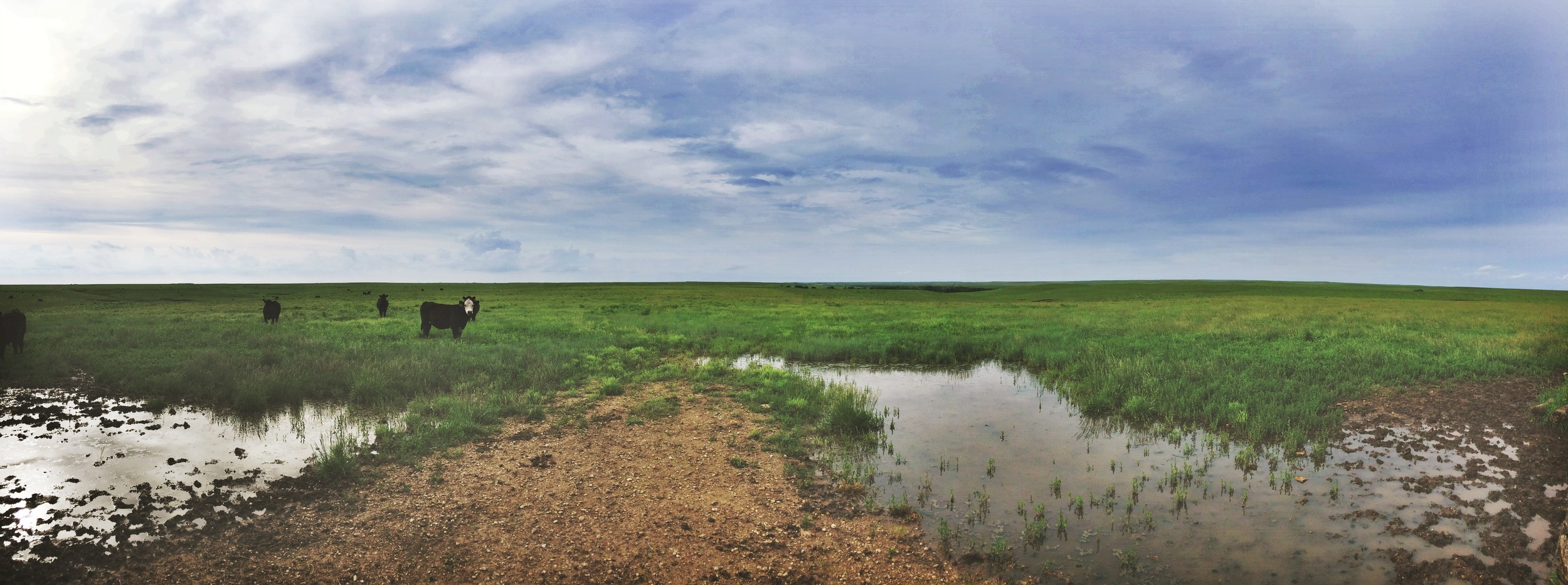 The open plains are home to a number of cattle. Green stretches as far as you can see until it meets the blue sky.