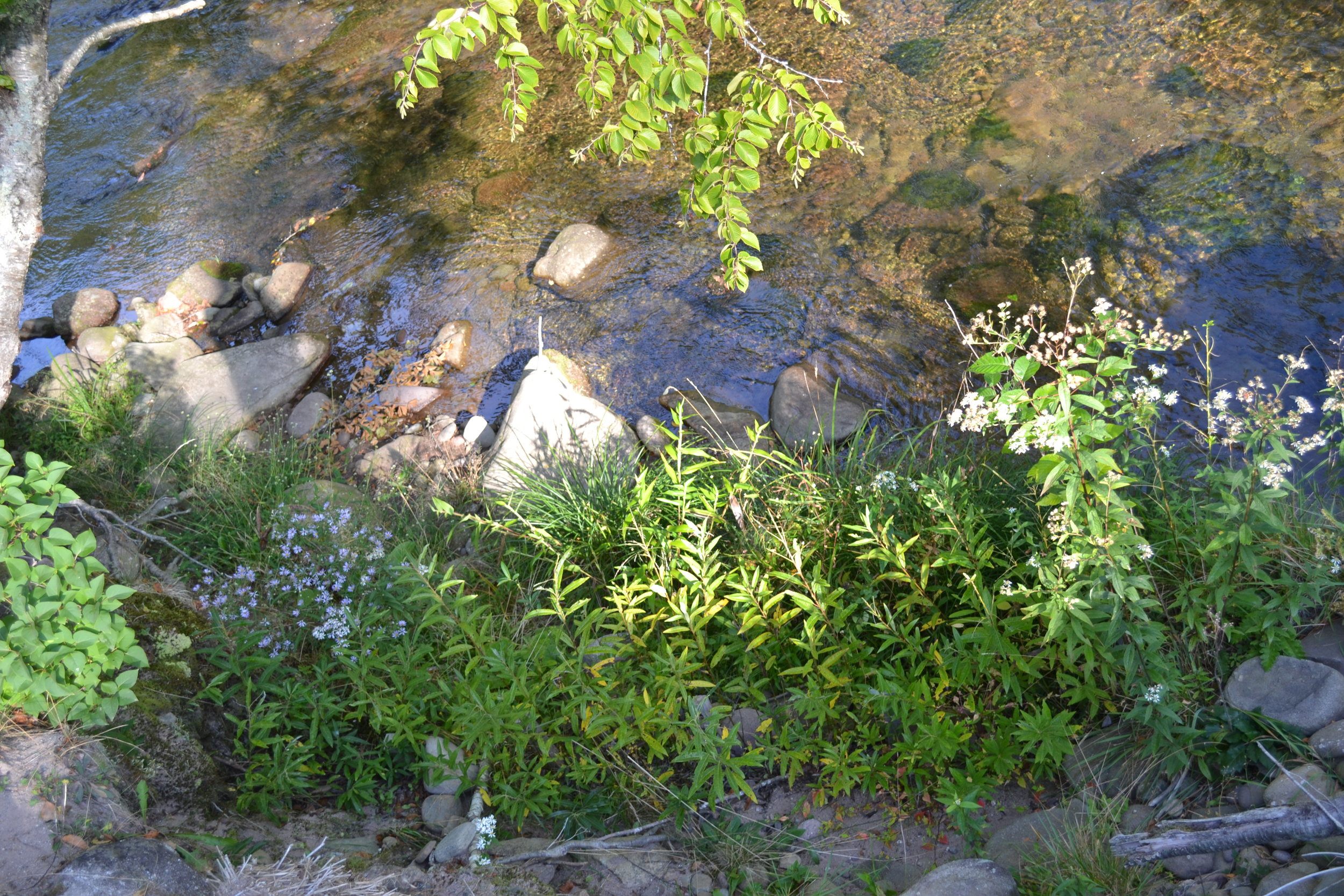 Willow Fascines and Riparian Buffer Planting at Rio Alto Property, E. Branch Neversink (CSBI)