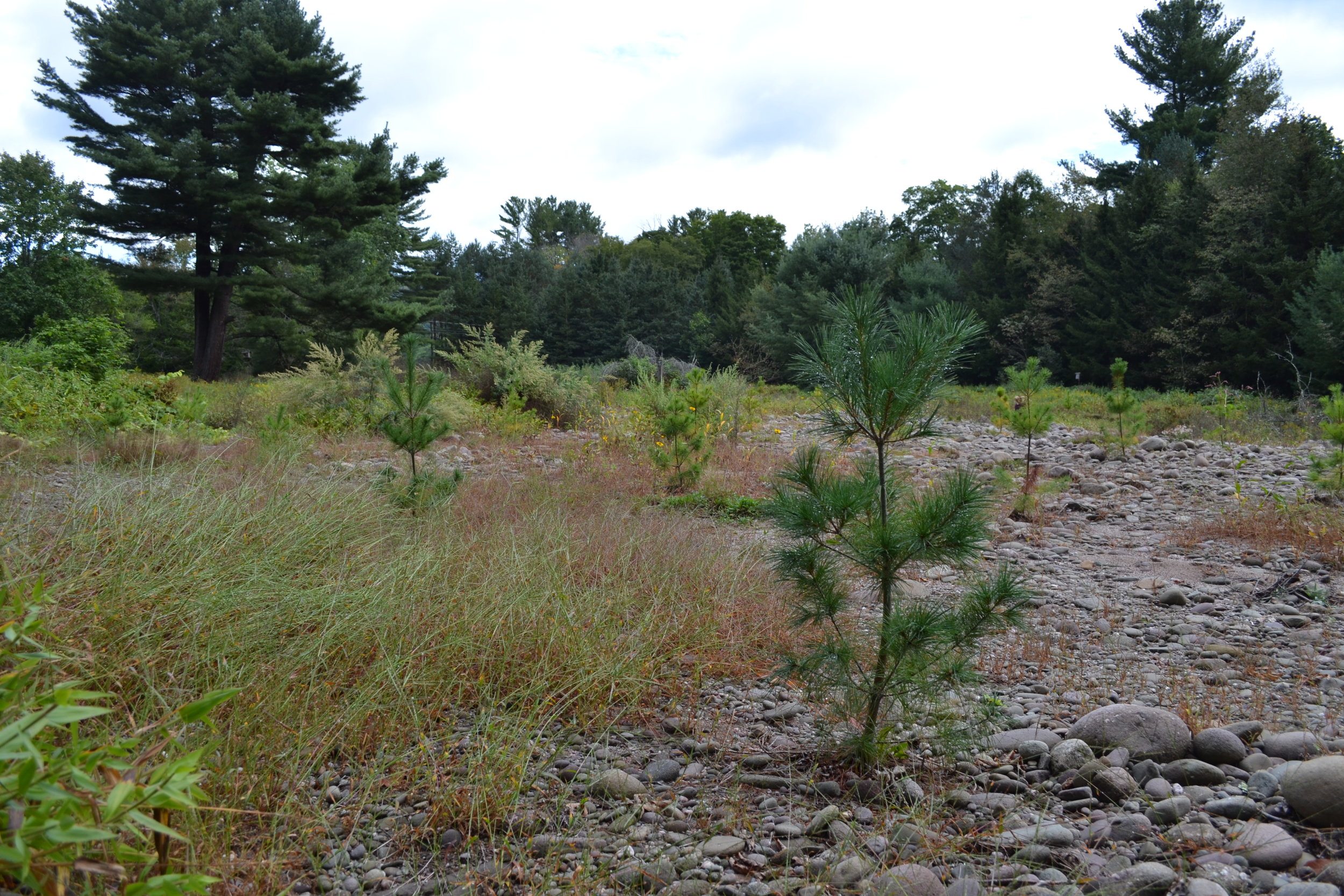 Former House Site Converted to Riparian Buffer Main Stem Neversink River