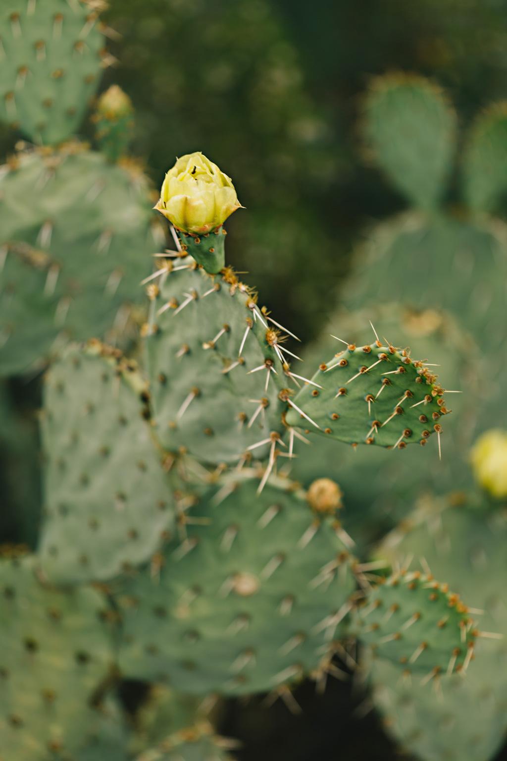 CindyGiovagnoli_Saguaro_National_Park_Arizona_desert_cactus_bloom_flowers-003.jpg