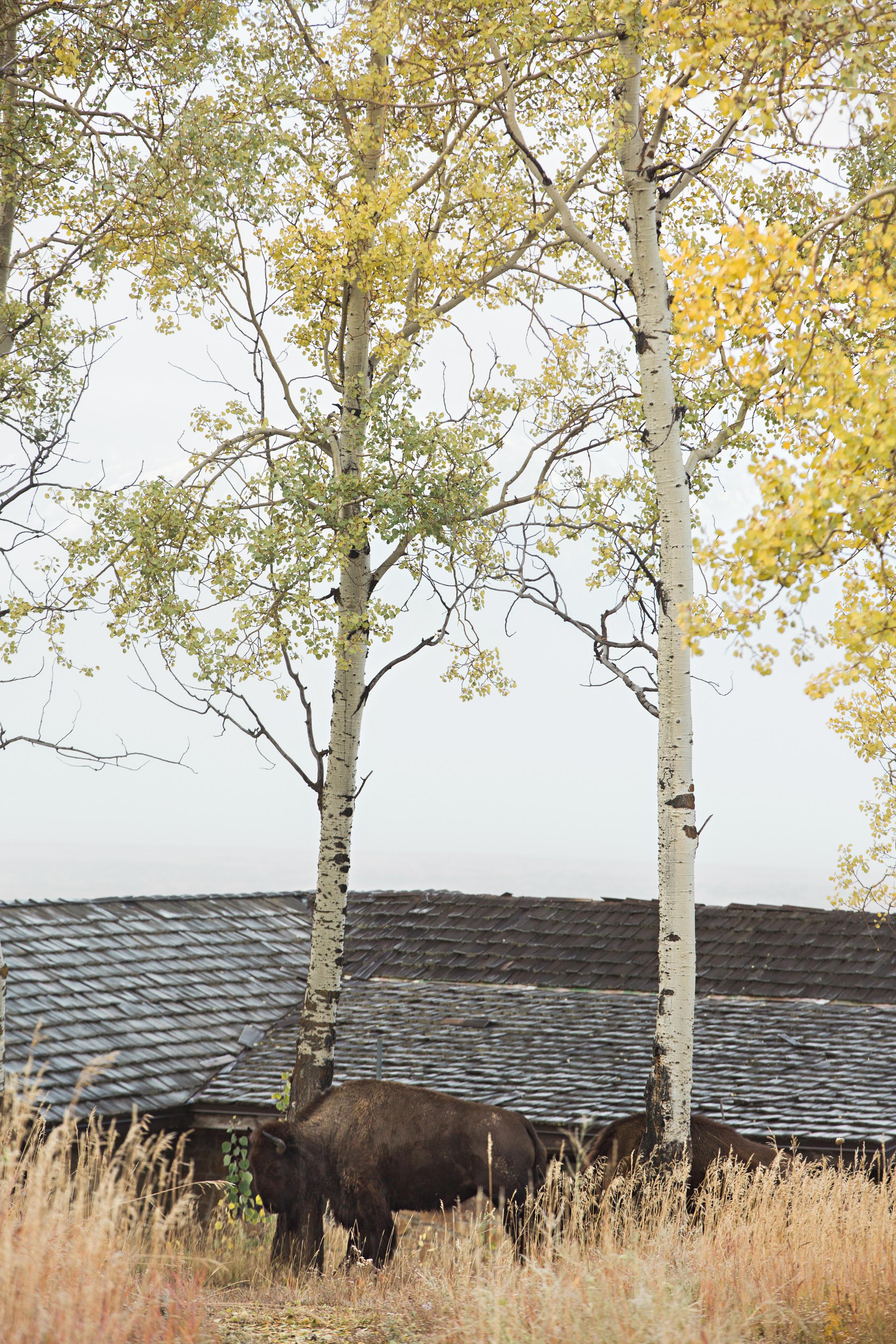 CindyGiovagnoli_Grand_Teton_National_Park_mountains_Bison_Autumn_Wyoming_Mormon_Row_aspens_fall_outdoor_photographer-041.jpg