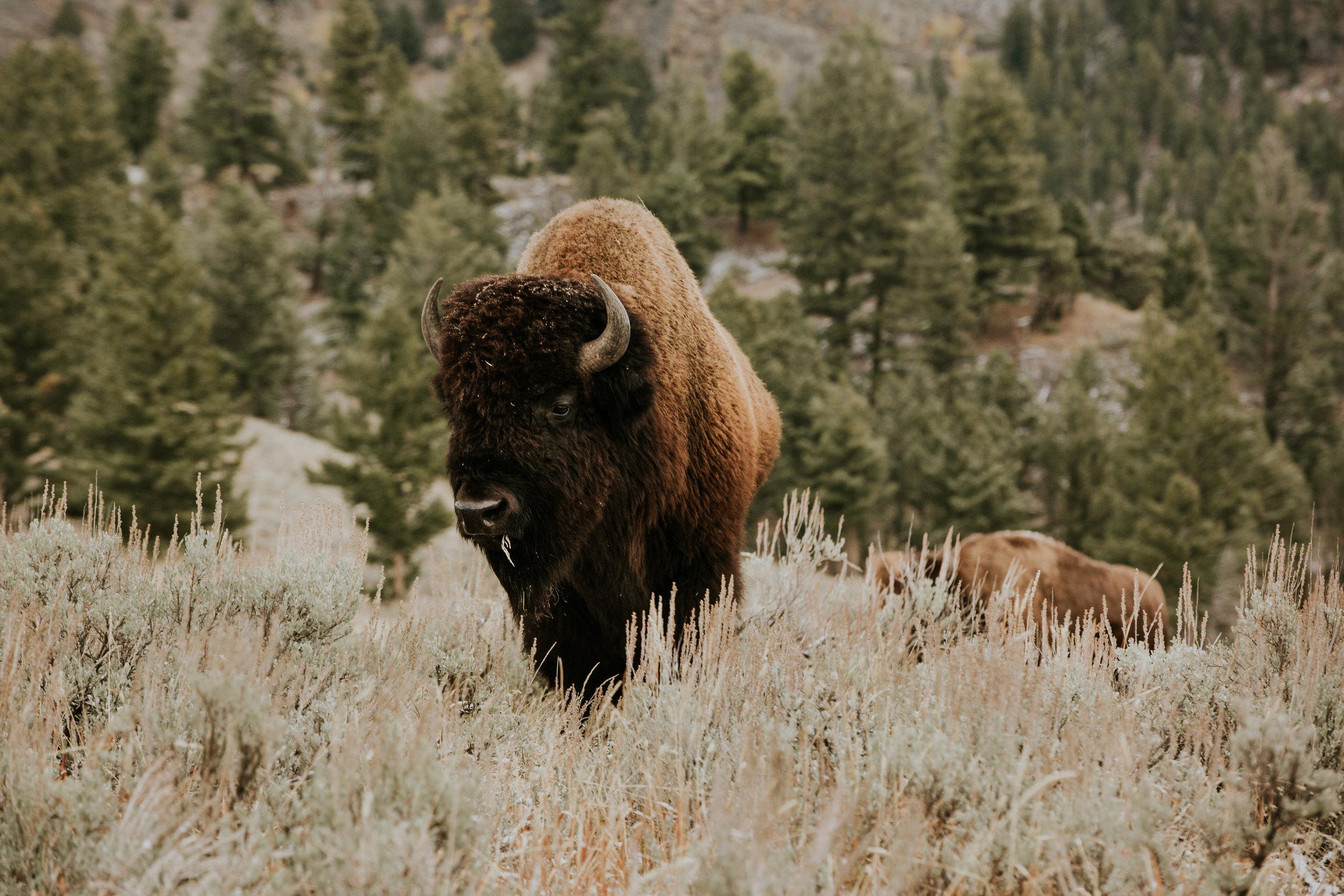 CindyGiovagnoli_Yellowstone_National_Park_Montana_Wyoming_bison_pronghorn_snow_elk_truckcamping-002.jpg