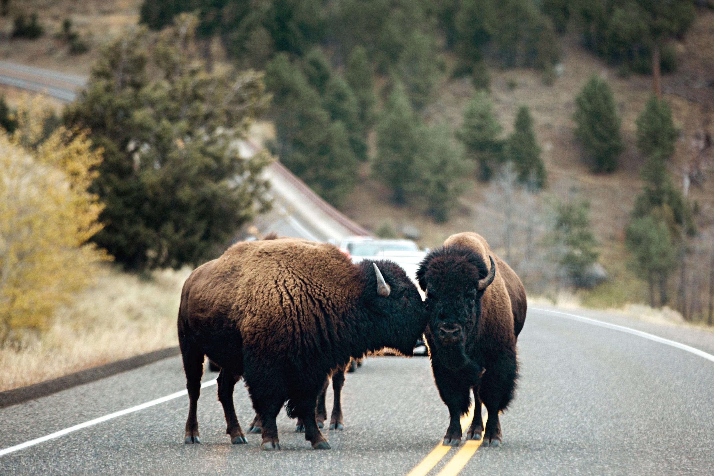 CindyGiovagnoli_Yellowstone_National_Park_Montana_Wyoming_bison_pronghorn_snow_elk_truckcamping-011.jpg