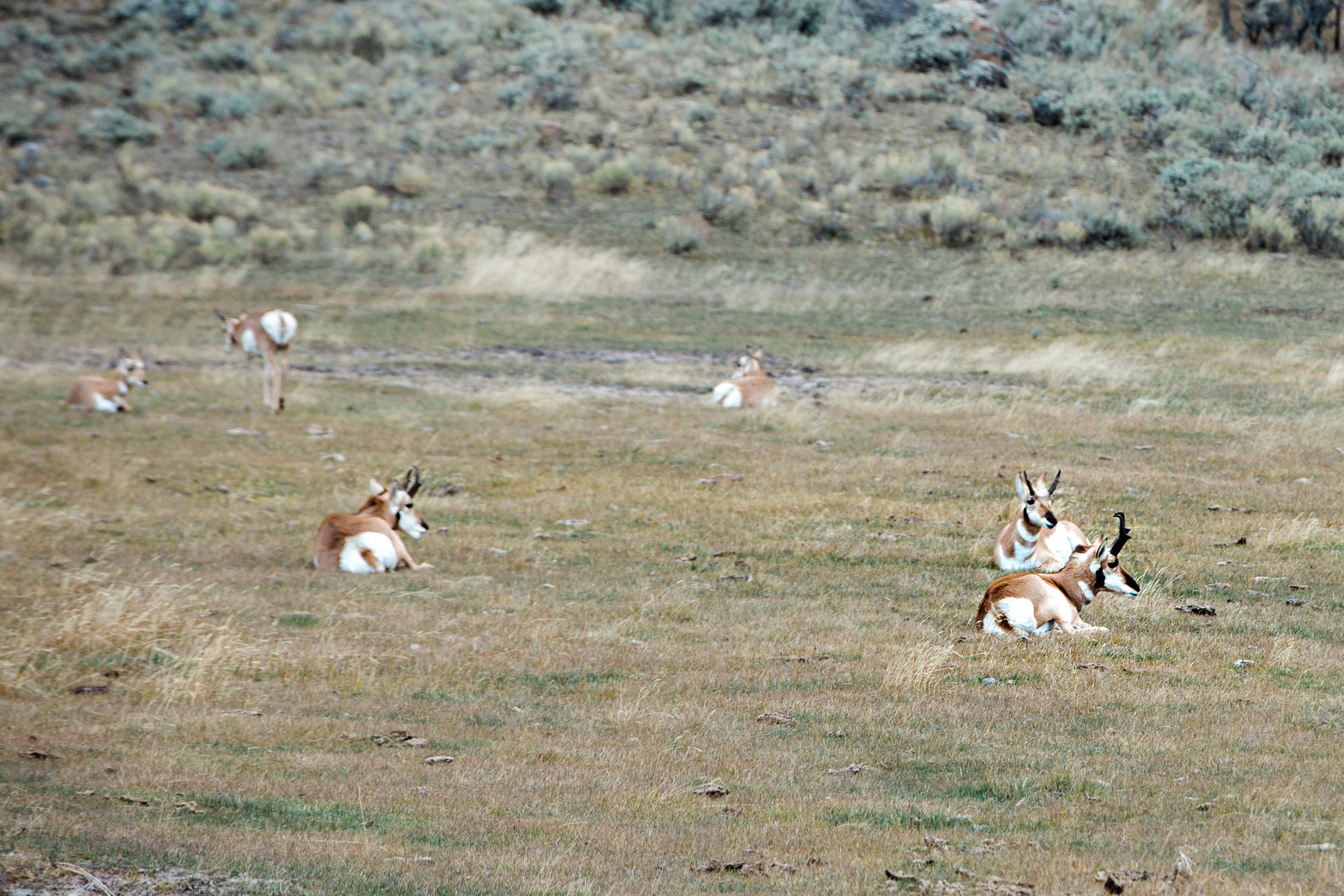 CindyGiovagnoli_Yellowstone_National_Park_Montana_Wyoming_bison_pronghorn_snow_elk_truckcamping-012.jpg