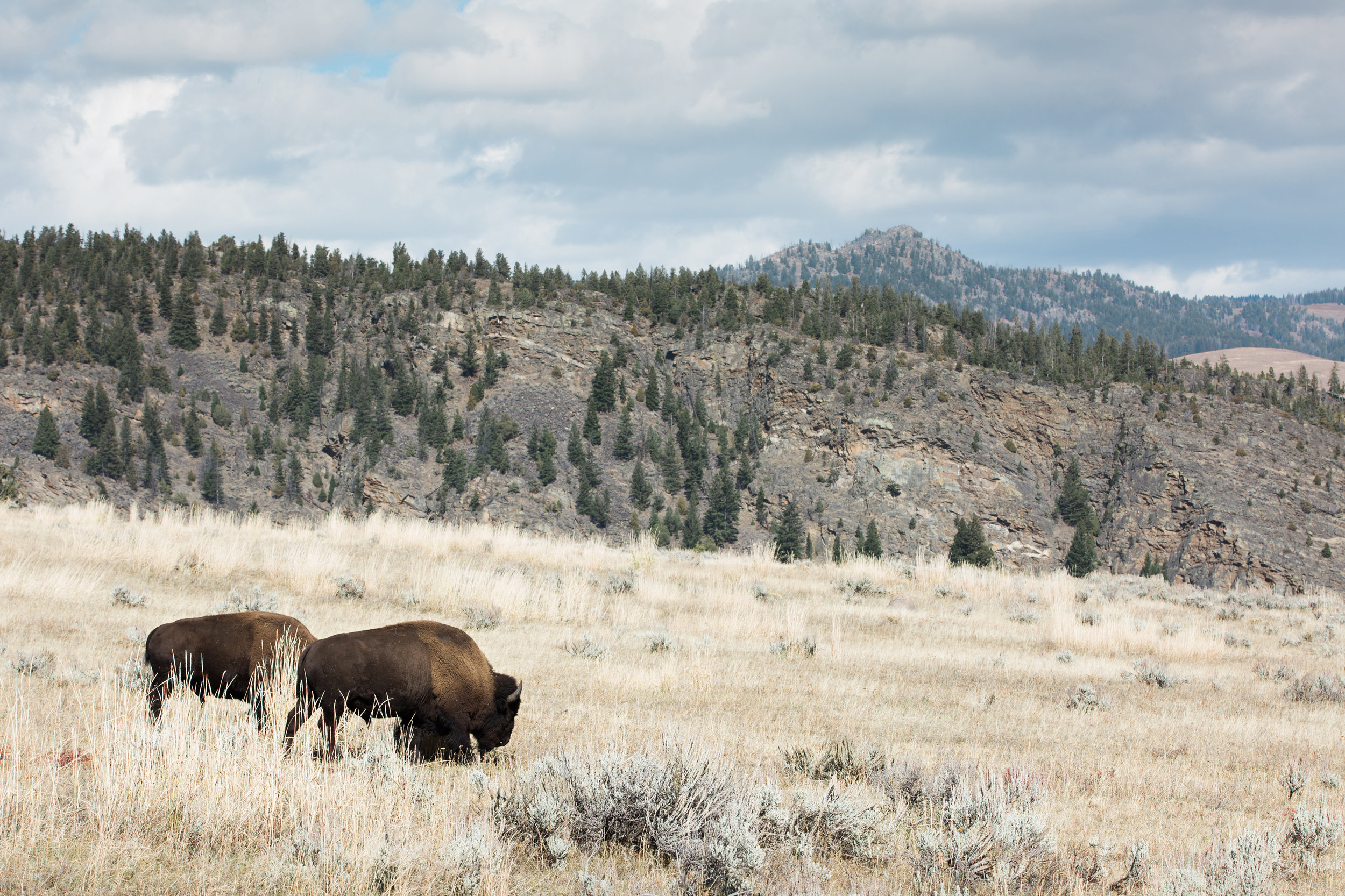 CindyGiovagnoli_Yellowstone_National_Park_Montana_Wyoming_bison_pronghorn_snow_elk_truckcamping-013.jpg