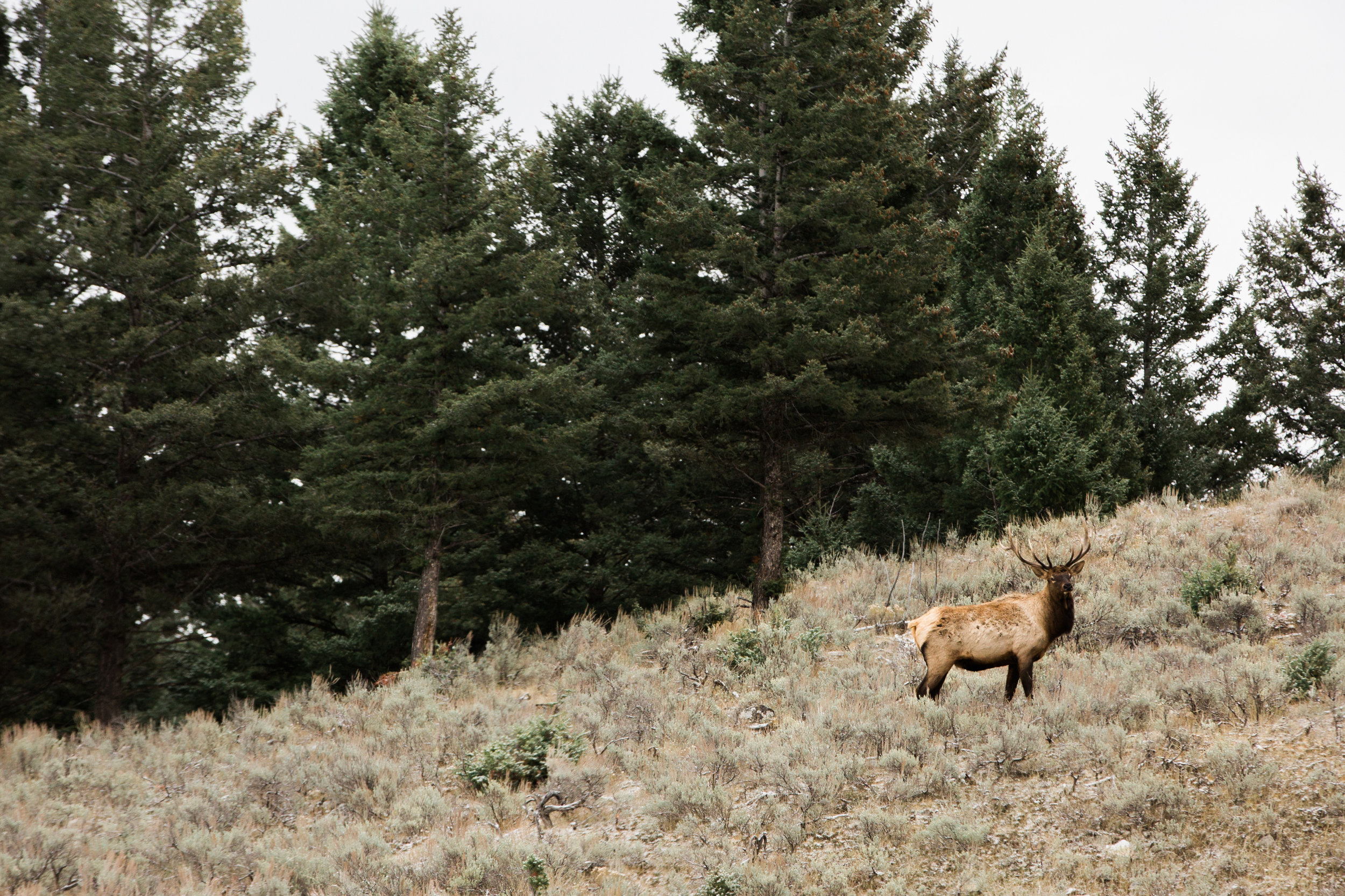 CindyGiovagnoli_Yellowstone_National_Park_Montana_Wyoming_bison_pronghorn_snow_elk_truckcamping-019.jpg