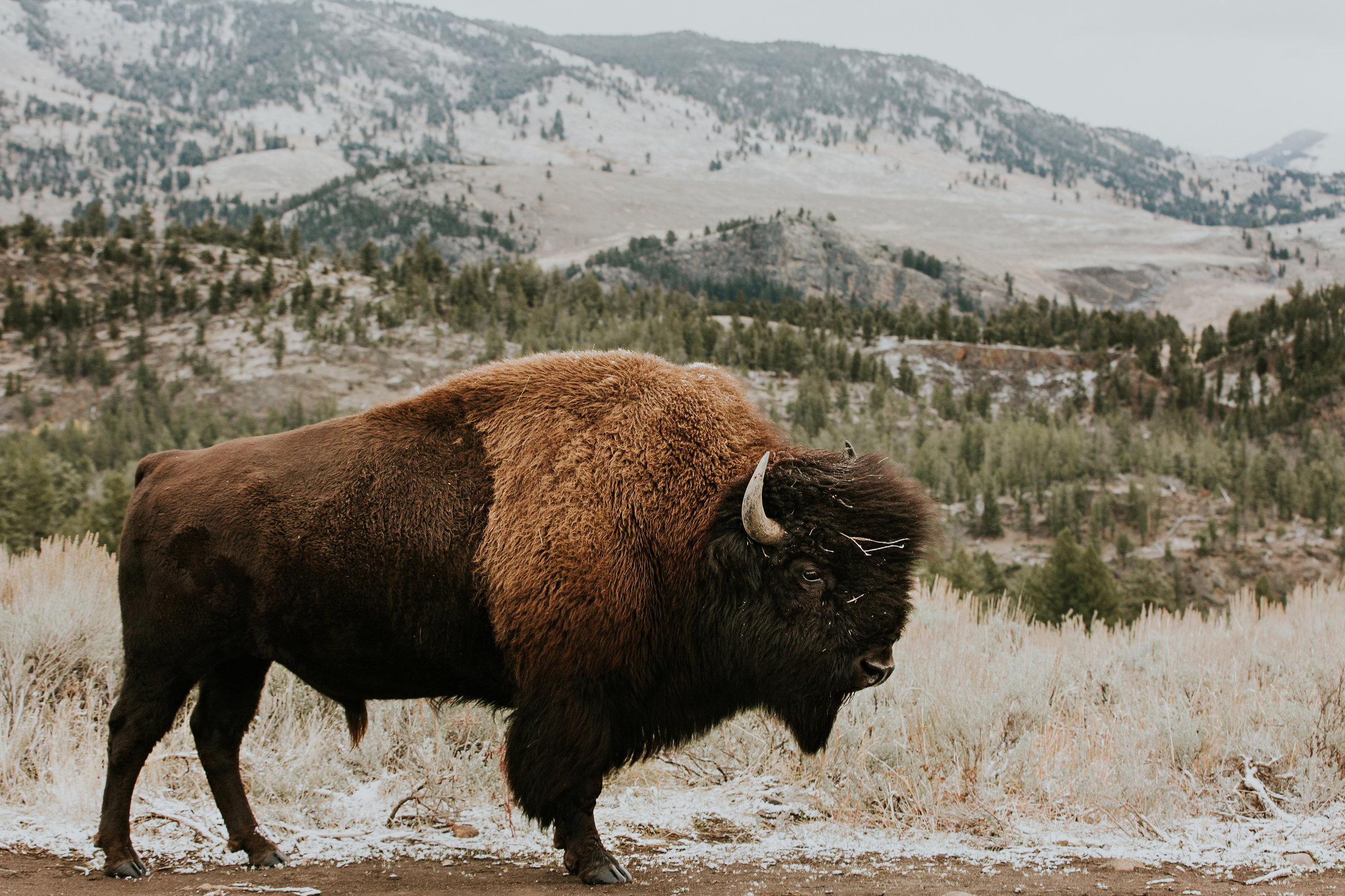 CindyGiovagnoli_Yellowstone_National_Park_Montana_Wyoming_bison_pronghorn_snow_elk_truckcamping-020.jpg