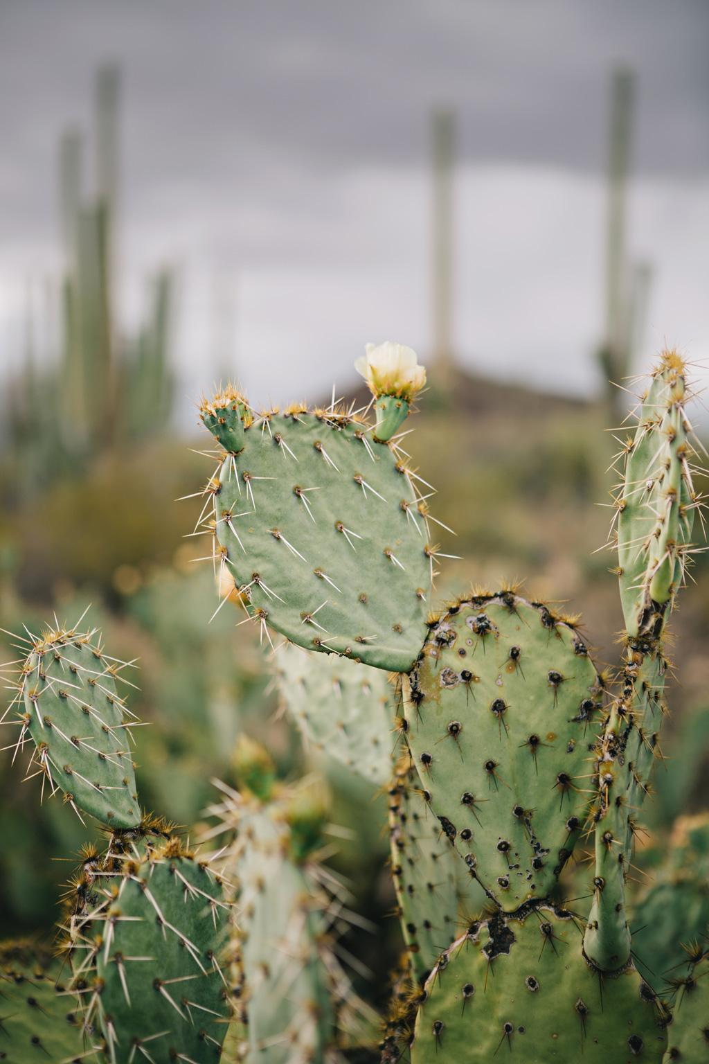 CindyGiovagnoli_Saguaro_National_Park_Tucson_Arizona_flowers_rain_spring_desert-002.jpg