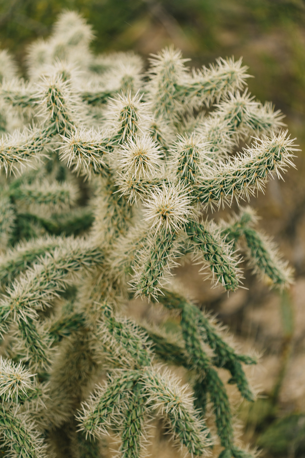 CindyGiovagnoli_Saguaro_National_Park_Tucson_Arizona_flowers_rain_spring_desert-008.jpg
