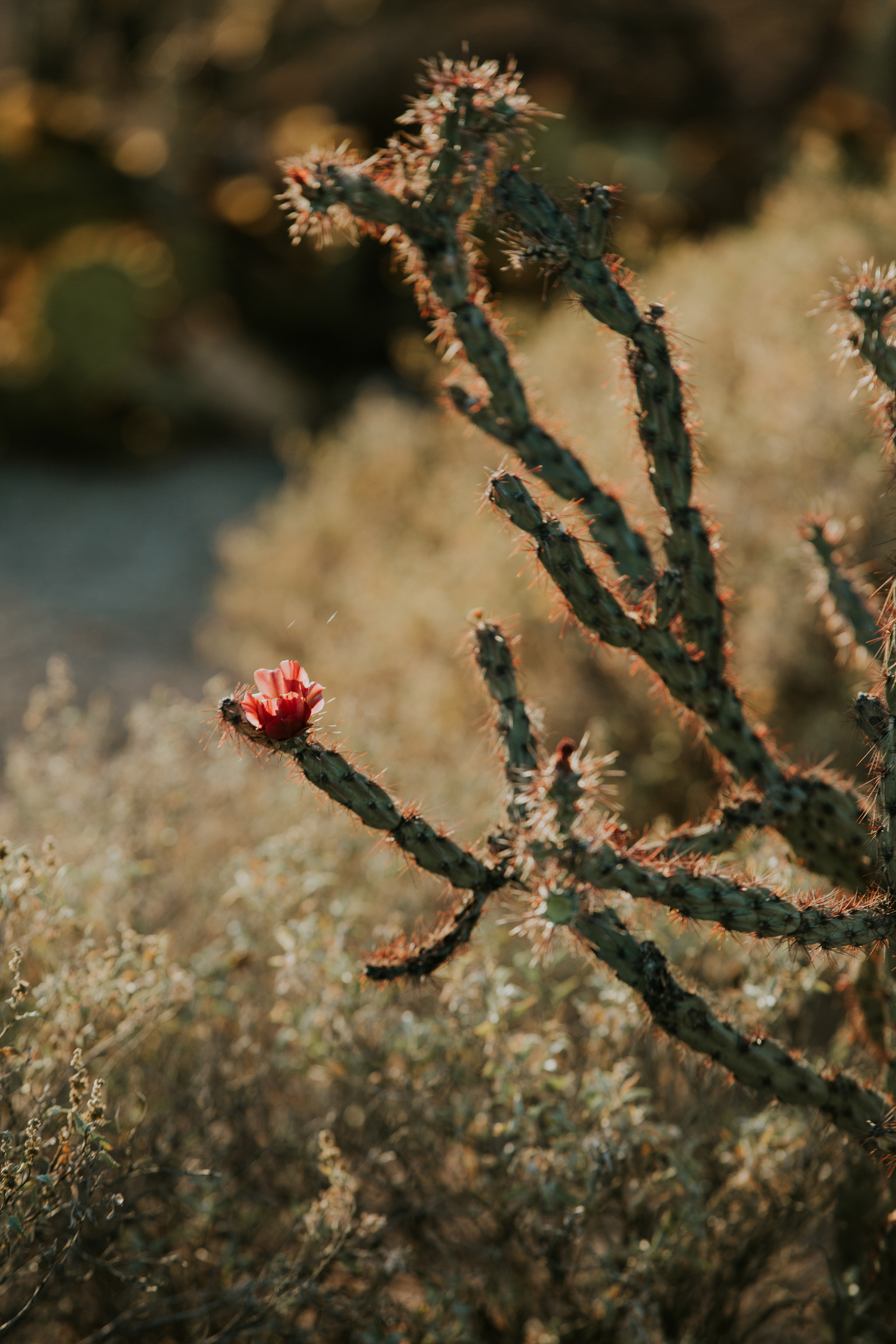 CindyGiovagnoli_Tucson_Arizona_Saguaro_National_Park_cactus_sunset_blooming_spring_sunset_petroglyphs_Native_American_indigenous-004.jpg