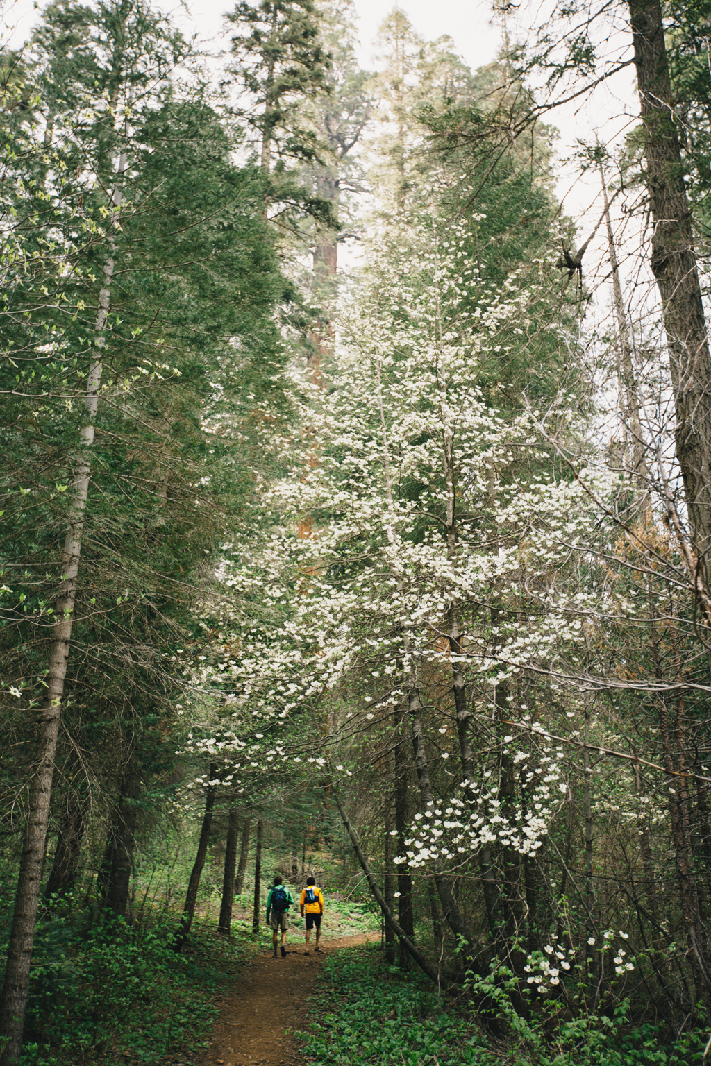 CindyGiovagnoli_Sequoia_Kings_Canyon_National_Park_spring_hiking_dogwood-003.jpg