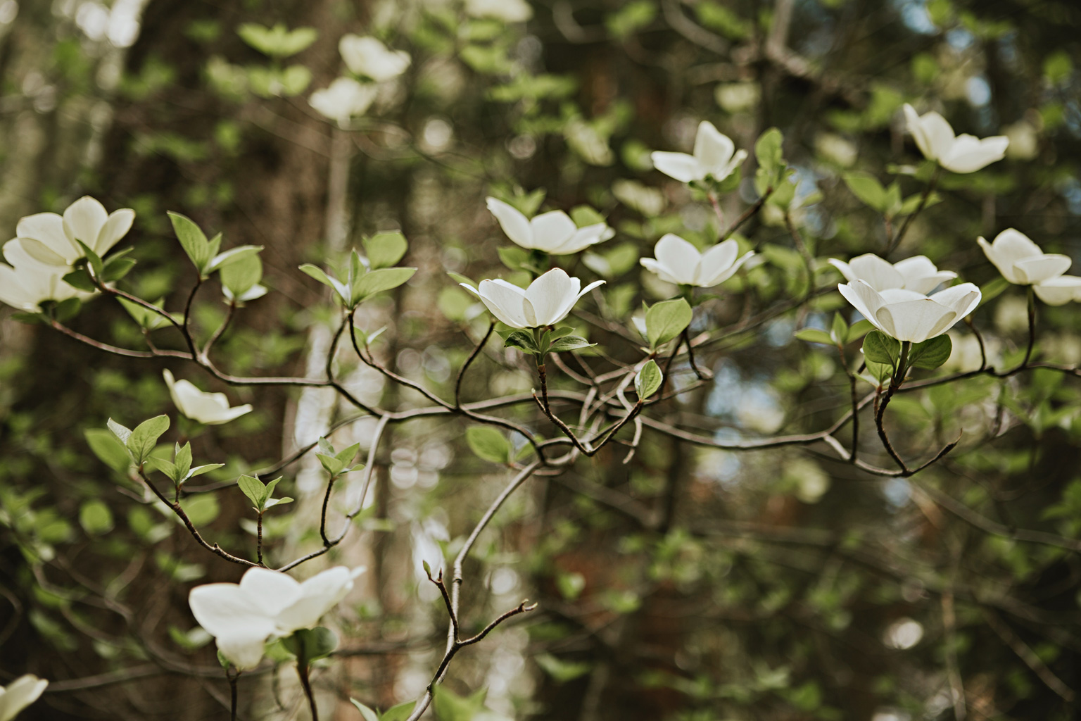 CindyGiovagnoli_Sequoia_Kings_Canyon_National_Park_spring_hiking_dogwood-008.jpg