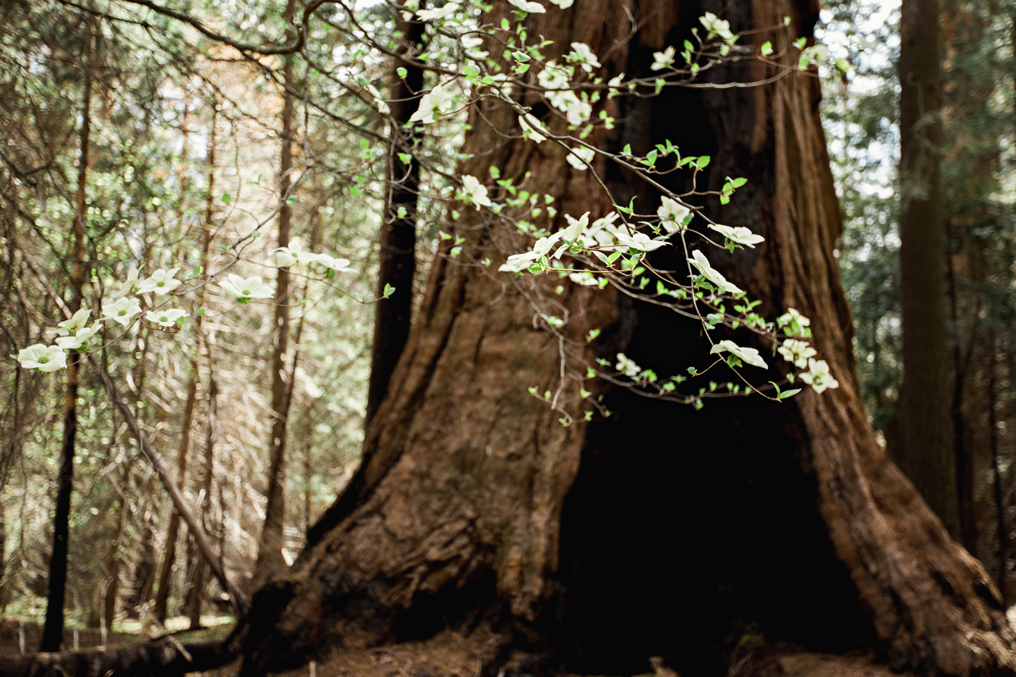 CindyGiovagnoli_Sequoia_Kings_Canyon_National_Park_spring_hiking_dogwood-014.jpg