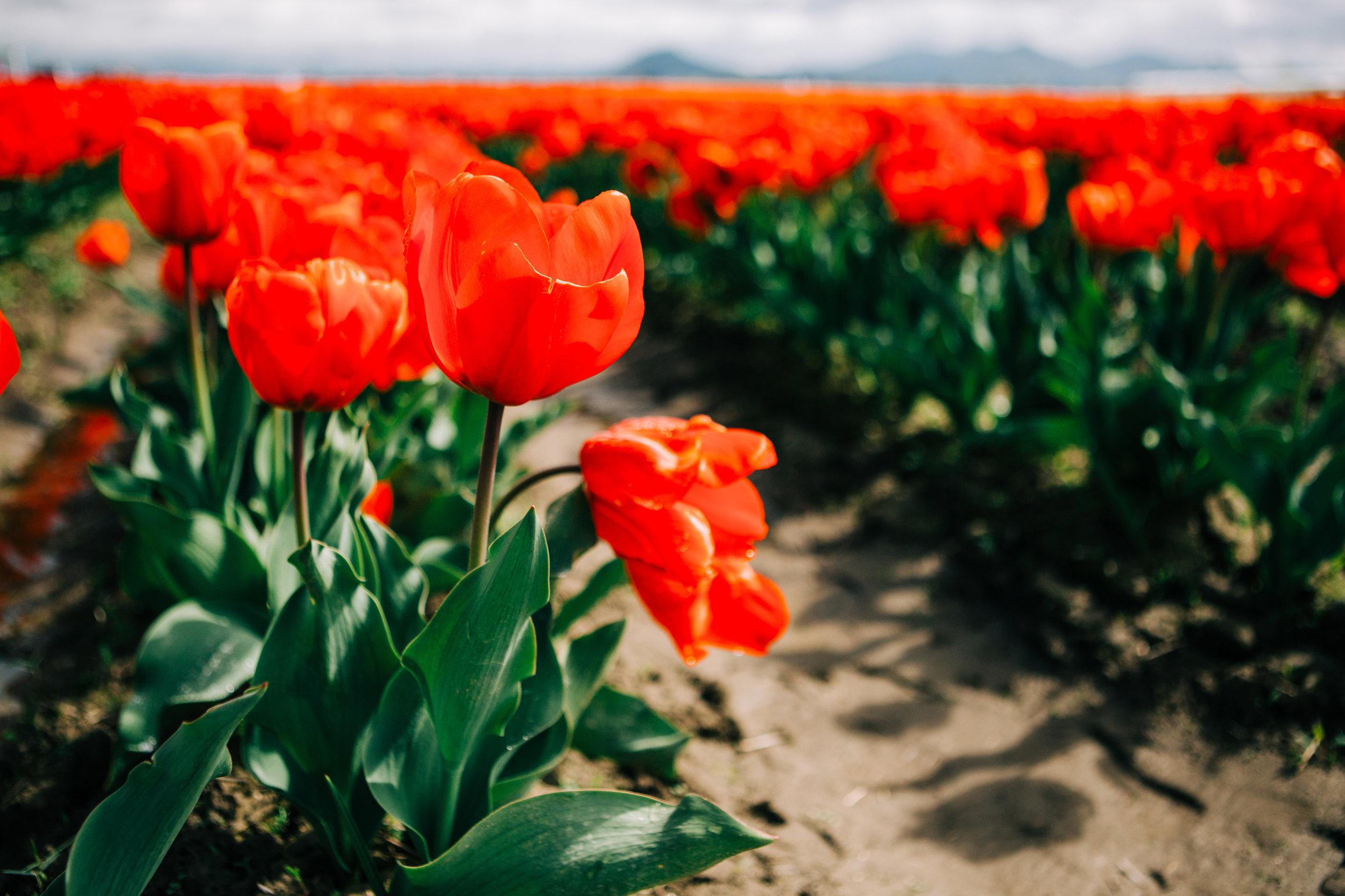 CindyGiovagnoli_Washington_PNW_tulip_NorthCascades-001.jpg