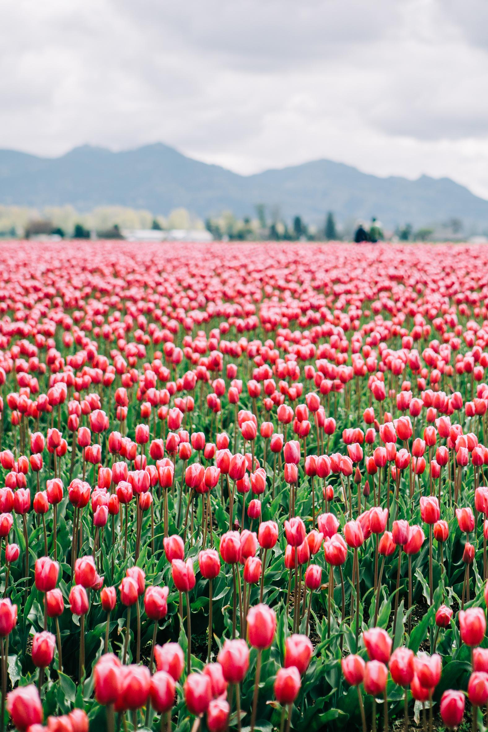 CindyGiovagnoli_Washington_PNW_tulip_NorthCascades-002.jpg