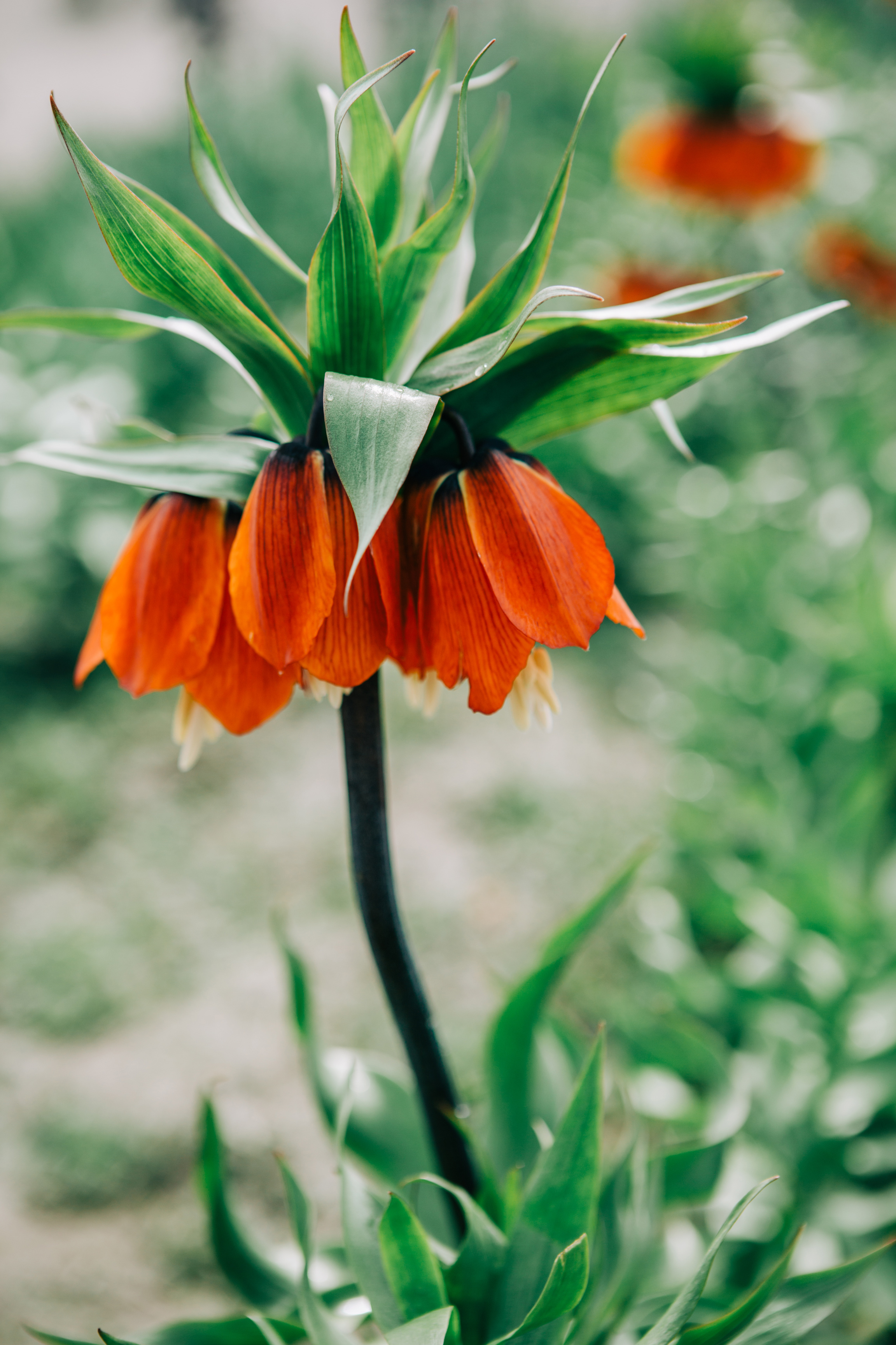 CindyGiovagnoli_Washington_PNW_tulip_NorthCascades-003.jpg