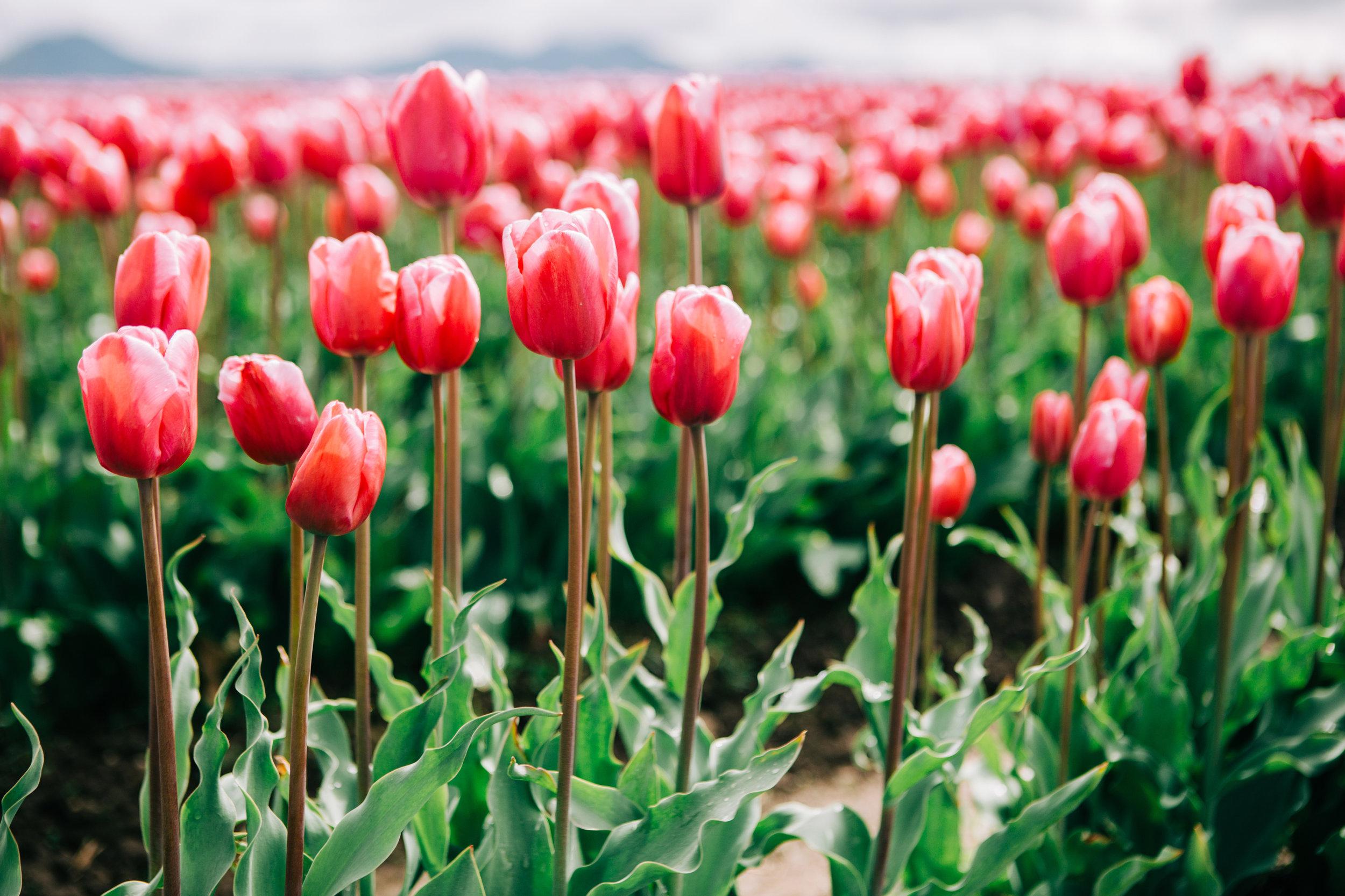 CindyGiovagnoli_Washington_PNW_tulip_NorthCascades-005.jpg