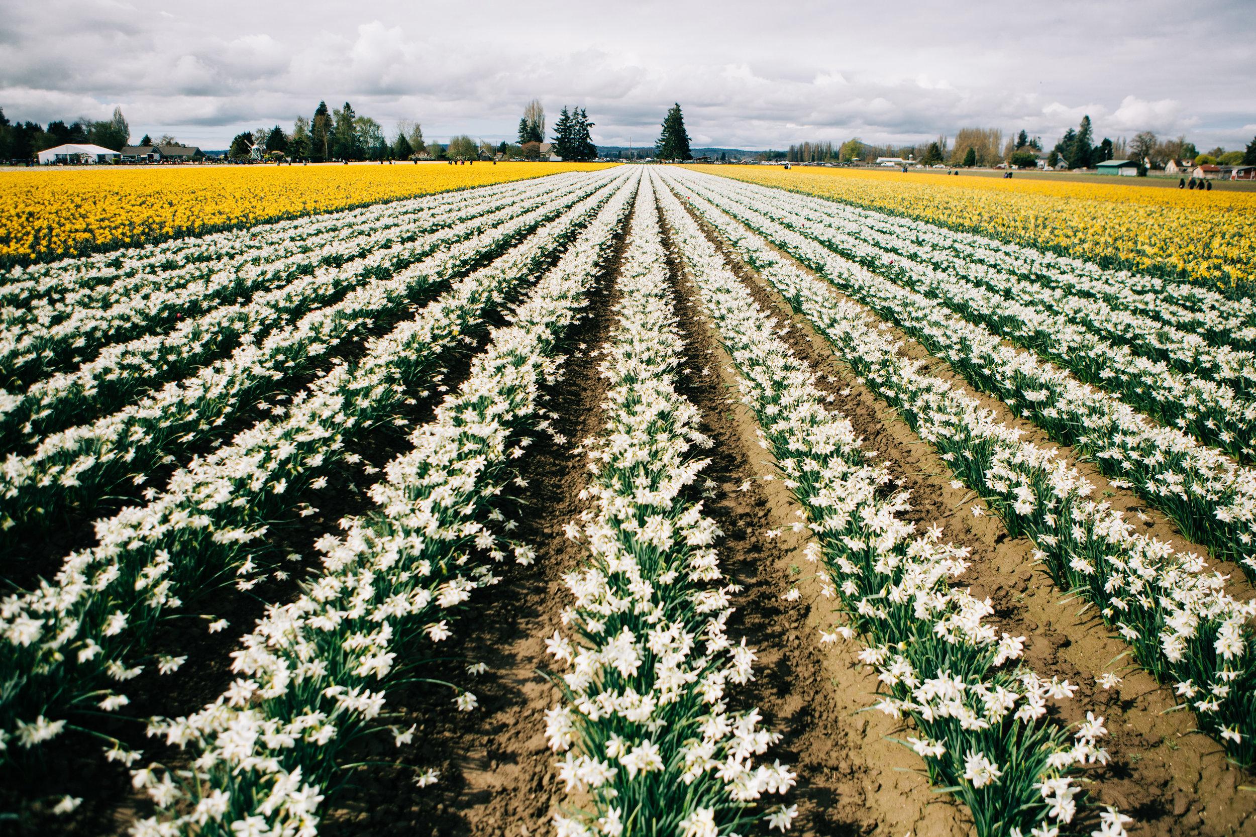 CindyGiovagnoli_Washington_PNW_tulip_NorthCascades-004.jpg