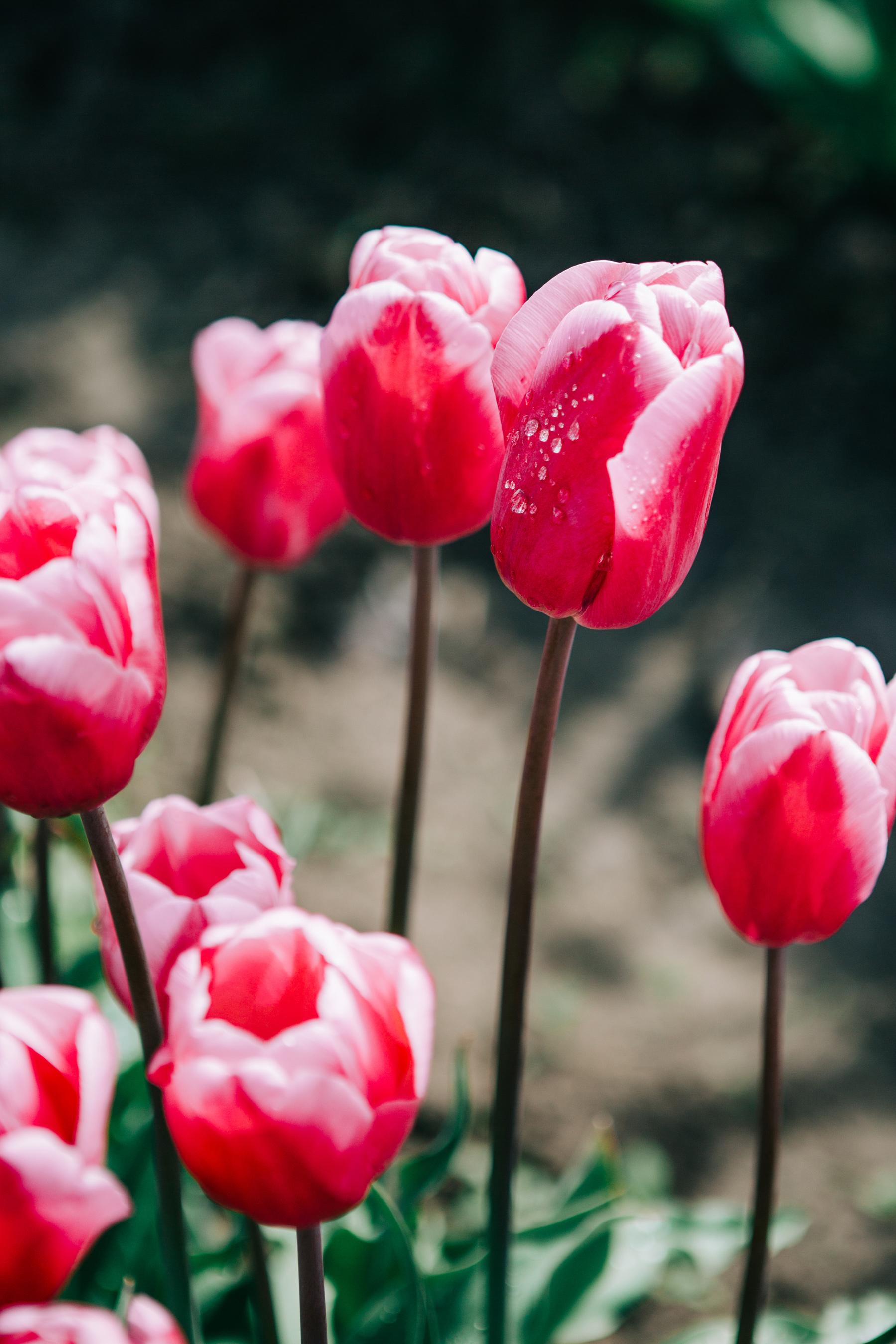 CindyGiovagnoli_Washington_PNW_tulip_NorthCascades-007.jpg