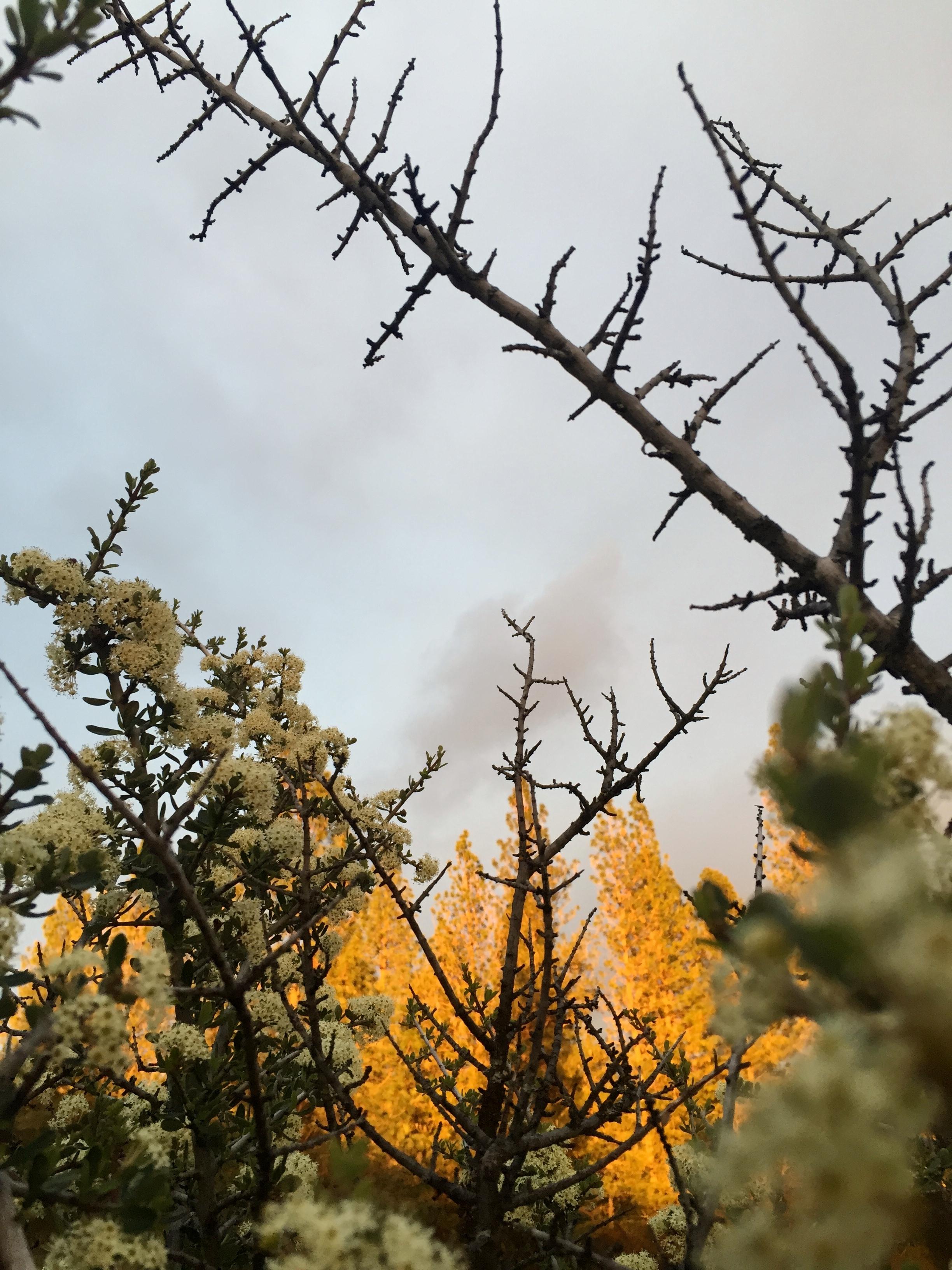 CA mountain lilac.