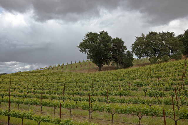 Lone Oak Vineyard.jpg