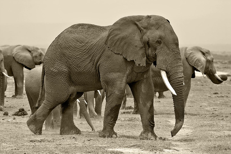 bull elephant b&w.jpg