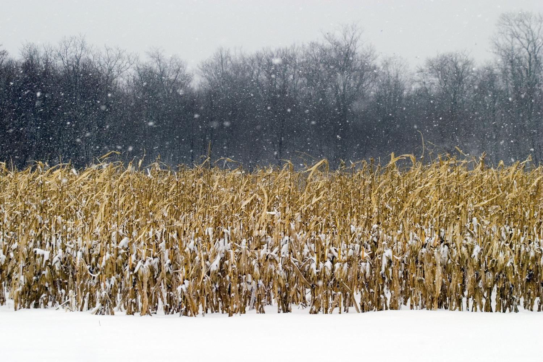 cornfield in a snowstorm.jpg