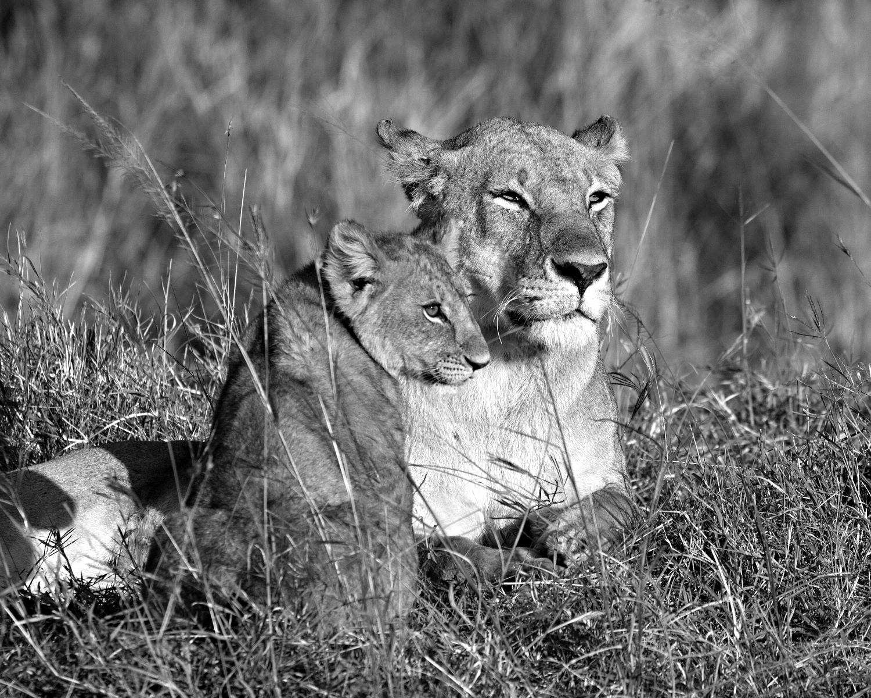 lioness and cub b&w.jpg