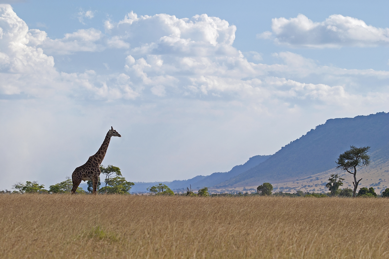 rift valley giraffe.jpg
