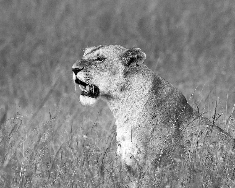 lioness b&w.jpg
