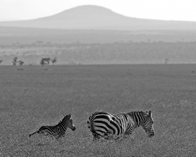 zebras b&w2.jpg