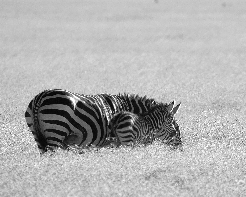 zebras b&w.jpg