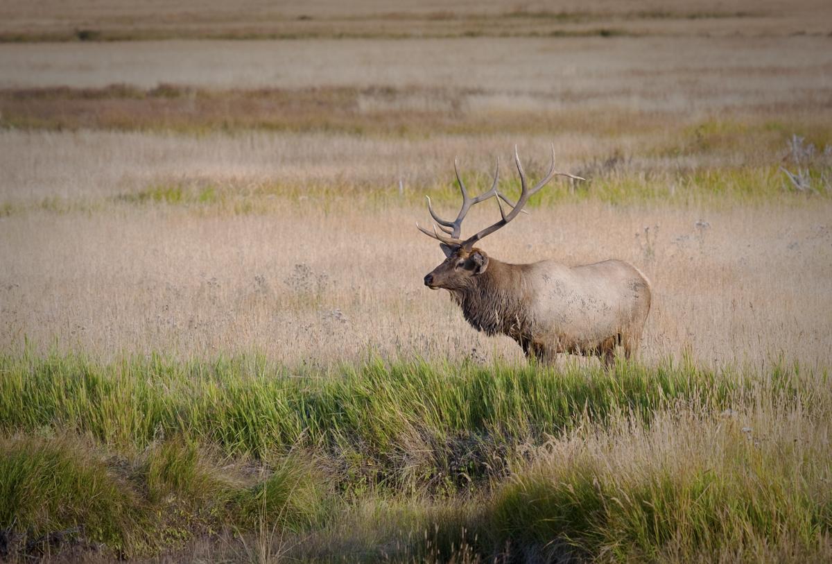 Bull-Elk-by-Stream-1900-338-2-73.jpg