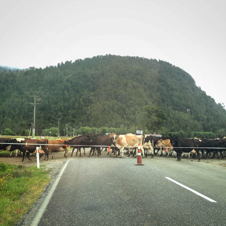 Naomi VanDoren New Zealand Travel Day 5 cows crossing