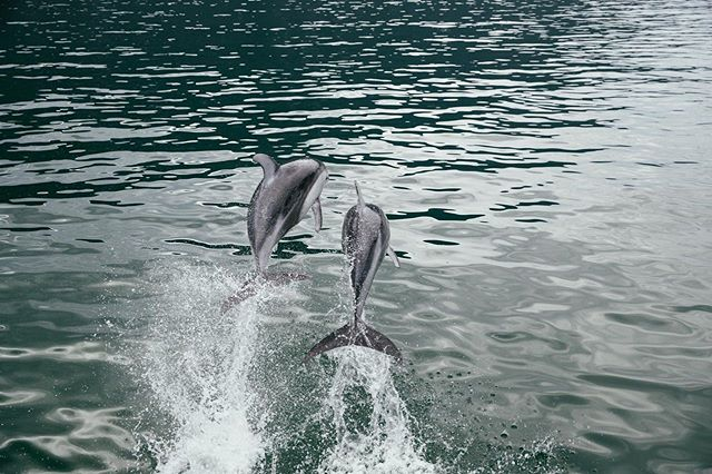 Nature's reminder to play more. Pacific White-Sided Dolphins, Dean Channel BC 📷 @jeremykoreski  #kimsquitbaylodge